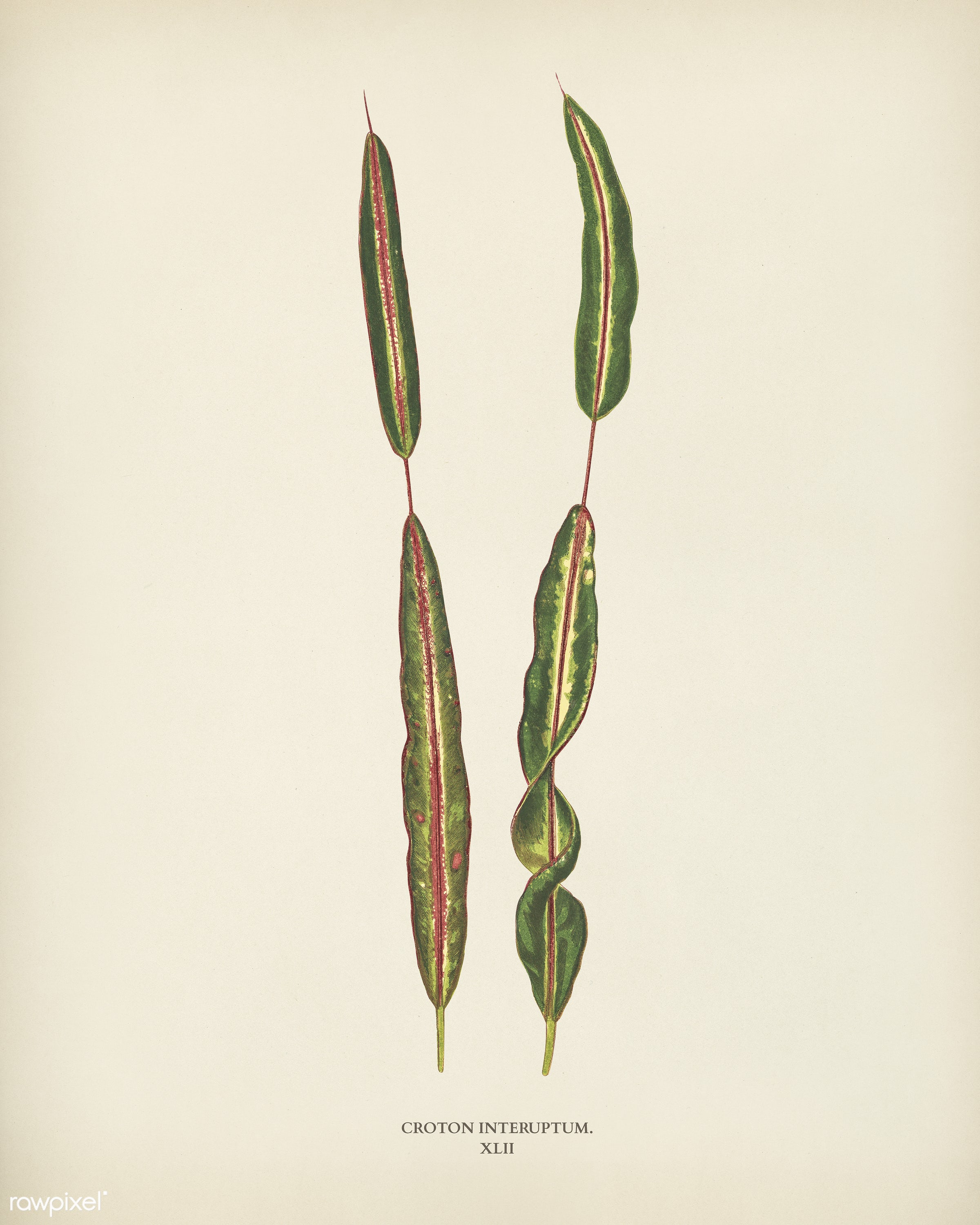 Croton interuptum engraved by Benjamin Fawcett (1808-1893) for Shirley Hibberd's (1825-1890) New and Rare Beautiful-...