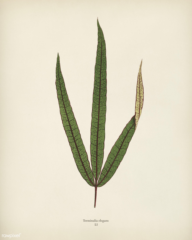 Terminalia elegans engraved by Benjamin Fawcett (1808-1893) for Shirley Hibberd's (1825-1890) New and Rare Beautiful-...