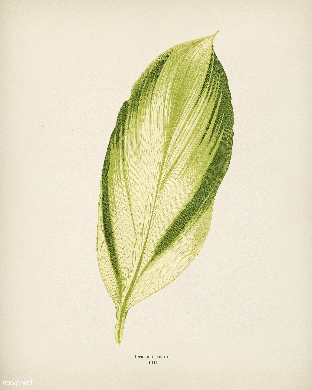 Dracaena recina engraved by Benjamin Fawcett (1808-1893) for Shirley Hibberd's (1825-1890) New and Rare Beautiful-...