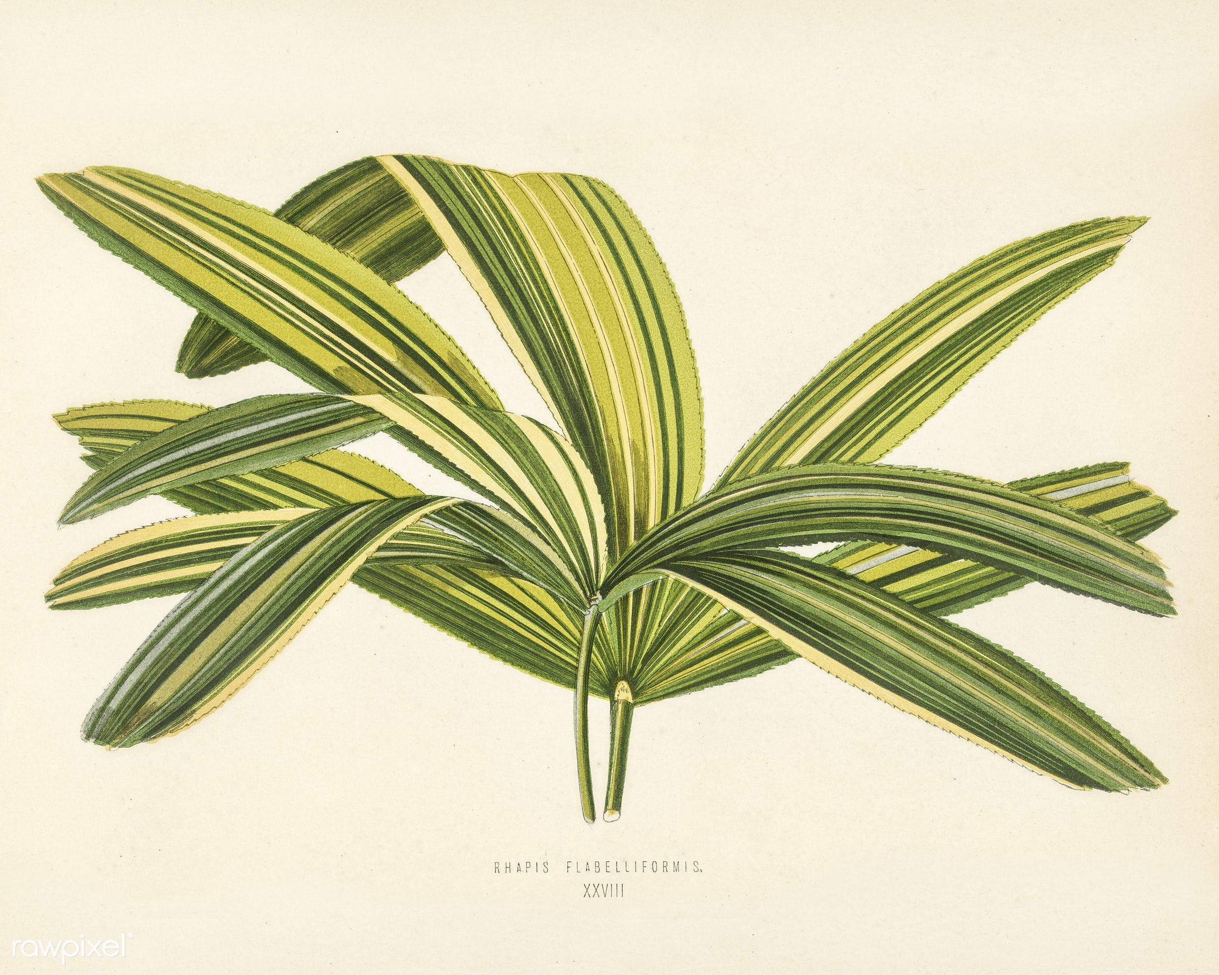 Slender Lady Palm (Rhapis Flabelliformis) engraved by Benjamin Fawcett (1808-1893) for Shirley Hibberd's (1825-1890)...