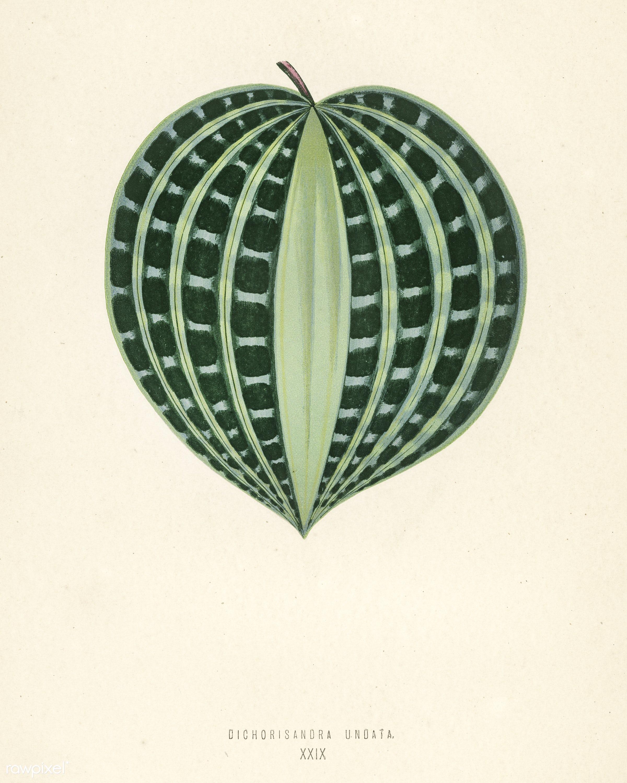 Seersucker Plant (Dichorisandra Undata) engraved by Benjamin Fawcett (1808-1893) for Shirley Hibberd's (1825-1890) New...
