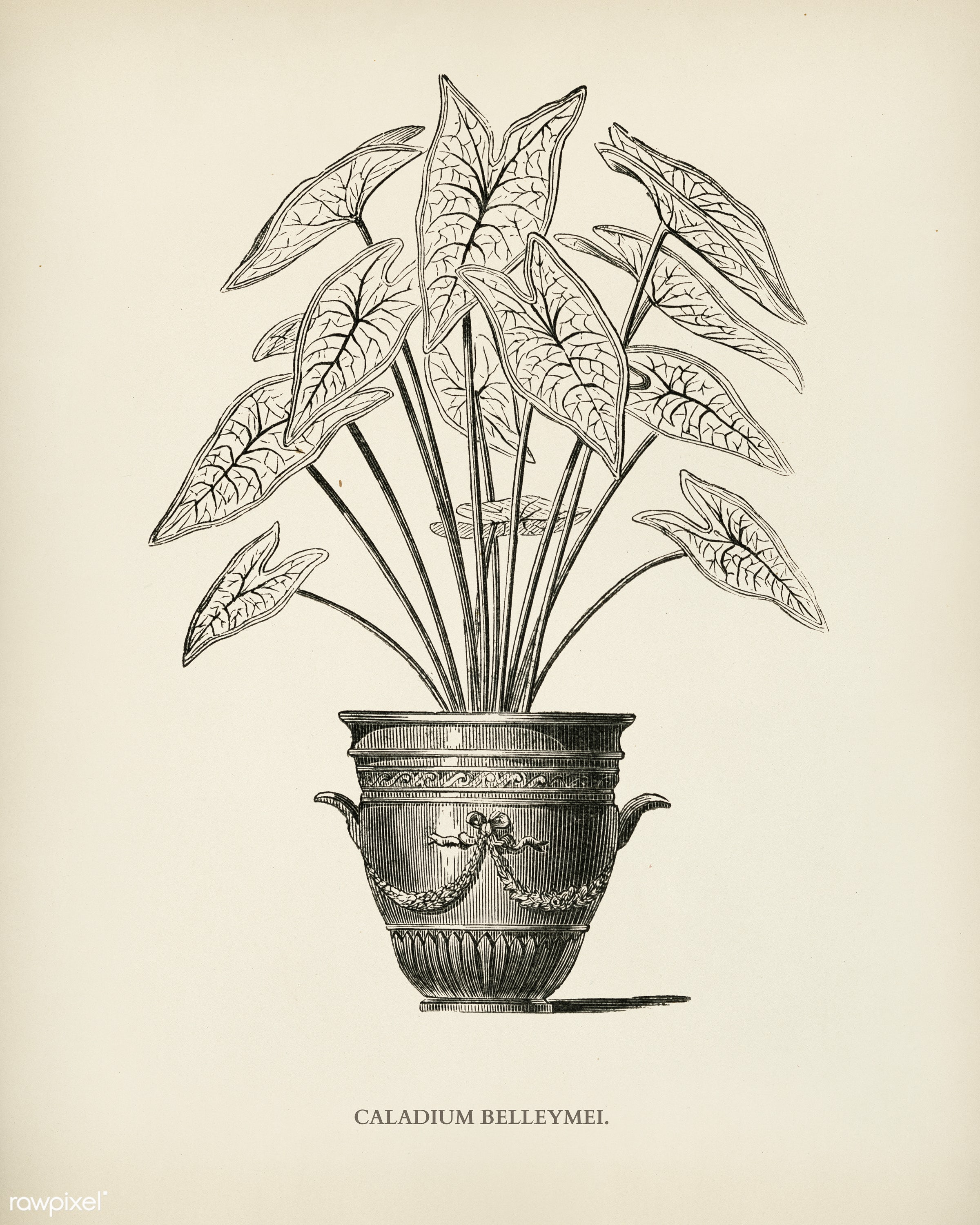 Angel Wings (Caladium Belleymei) engraved by Benjamin Fawcett (1808-1893) for Shirley Hibberd's (1825-1890) New and...