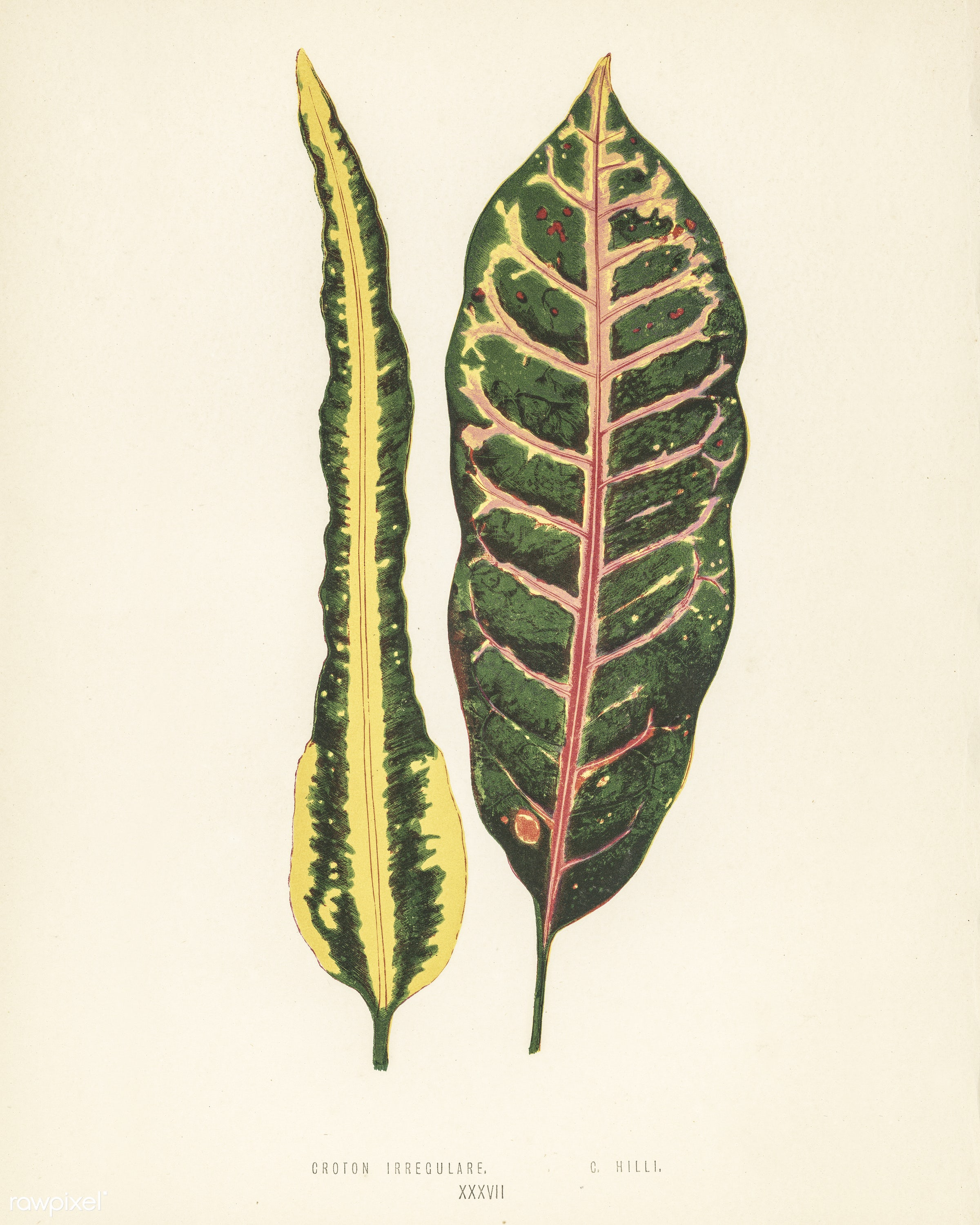 Croton irregulare engraved by Benjamin Fawcett (1808-1893) for Shirley Hibberd's (1825-1890) New and Rare Beautiful-...