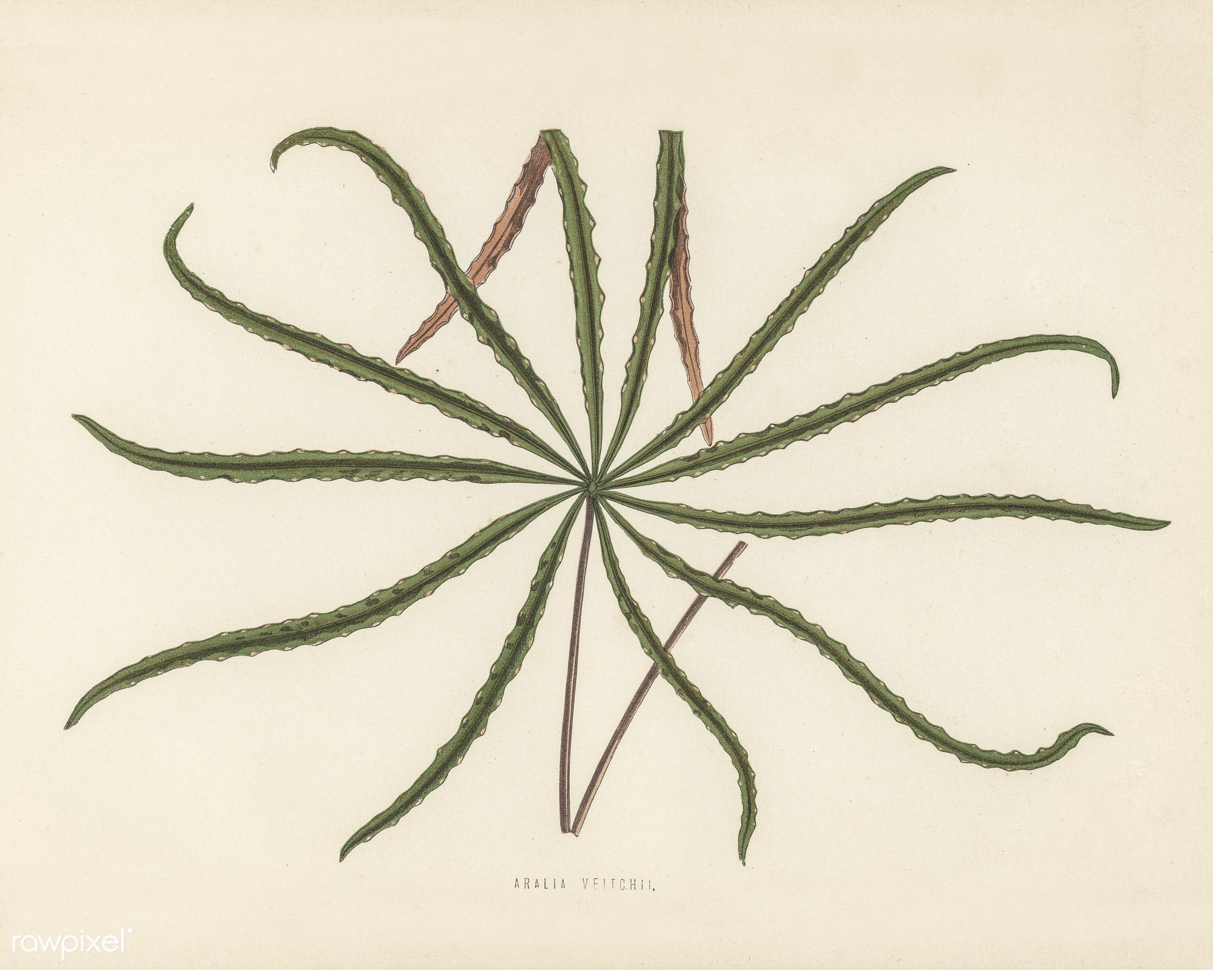 Aralia veitchii engraved by Benjamin Fawcett (1808-1893) for Shirley Hibberd's (1825-1890) New and Rare Beautiful-...