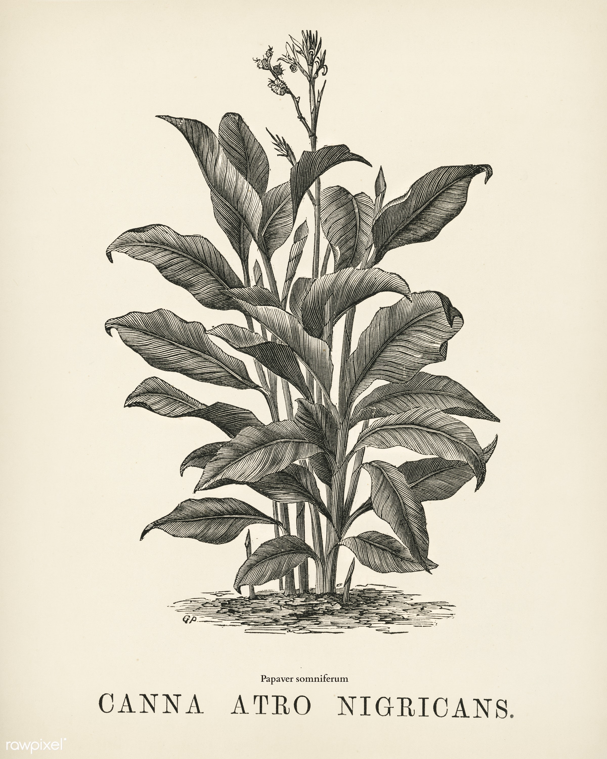 Indian Canna (Canna atro nigricans) engraved by Benjamin Fawcett (1808-1893) for Shirley Hibberd's (1825-1890) New and...
