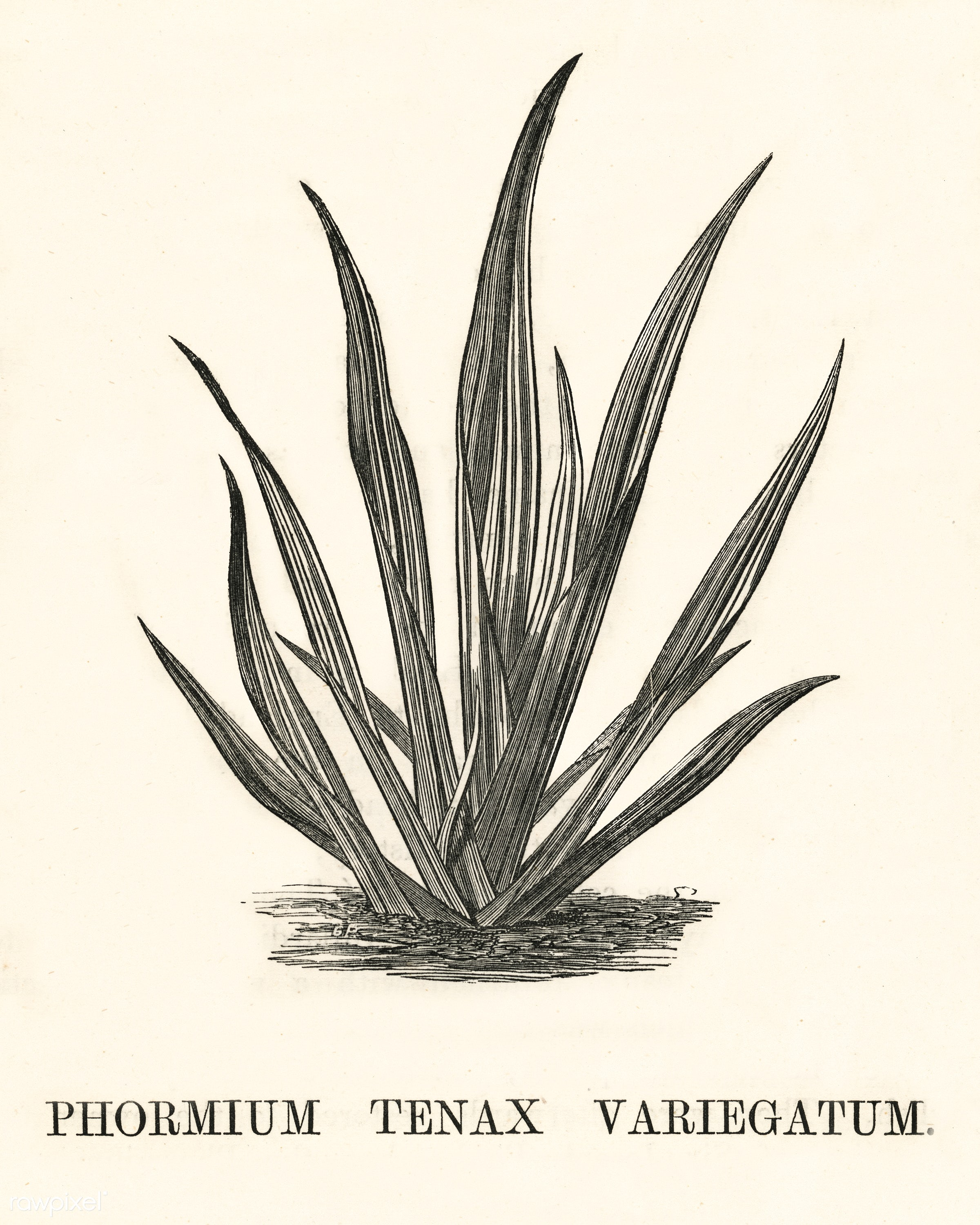 Variegated New Zealand Flax (Phormium Tenax Variegatum) engraved by Benjamin Fawcett (1808-1893) for Shirley Hibberd's...