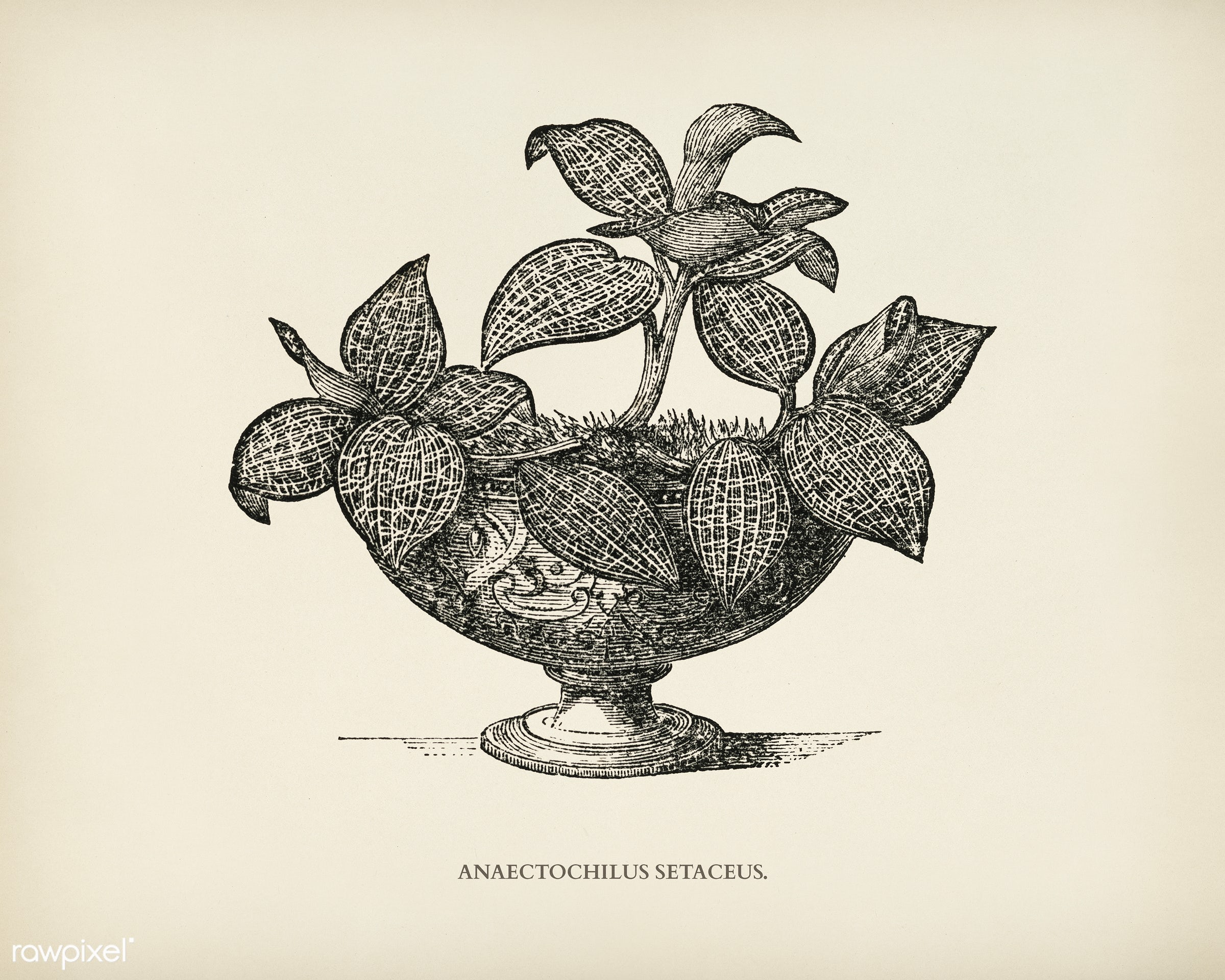 Anaectochilus Setaceus engraved by Benjamin Fawcett (1808-1893) for Shirley Hibberd's (1825-1890) New and Rare...