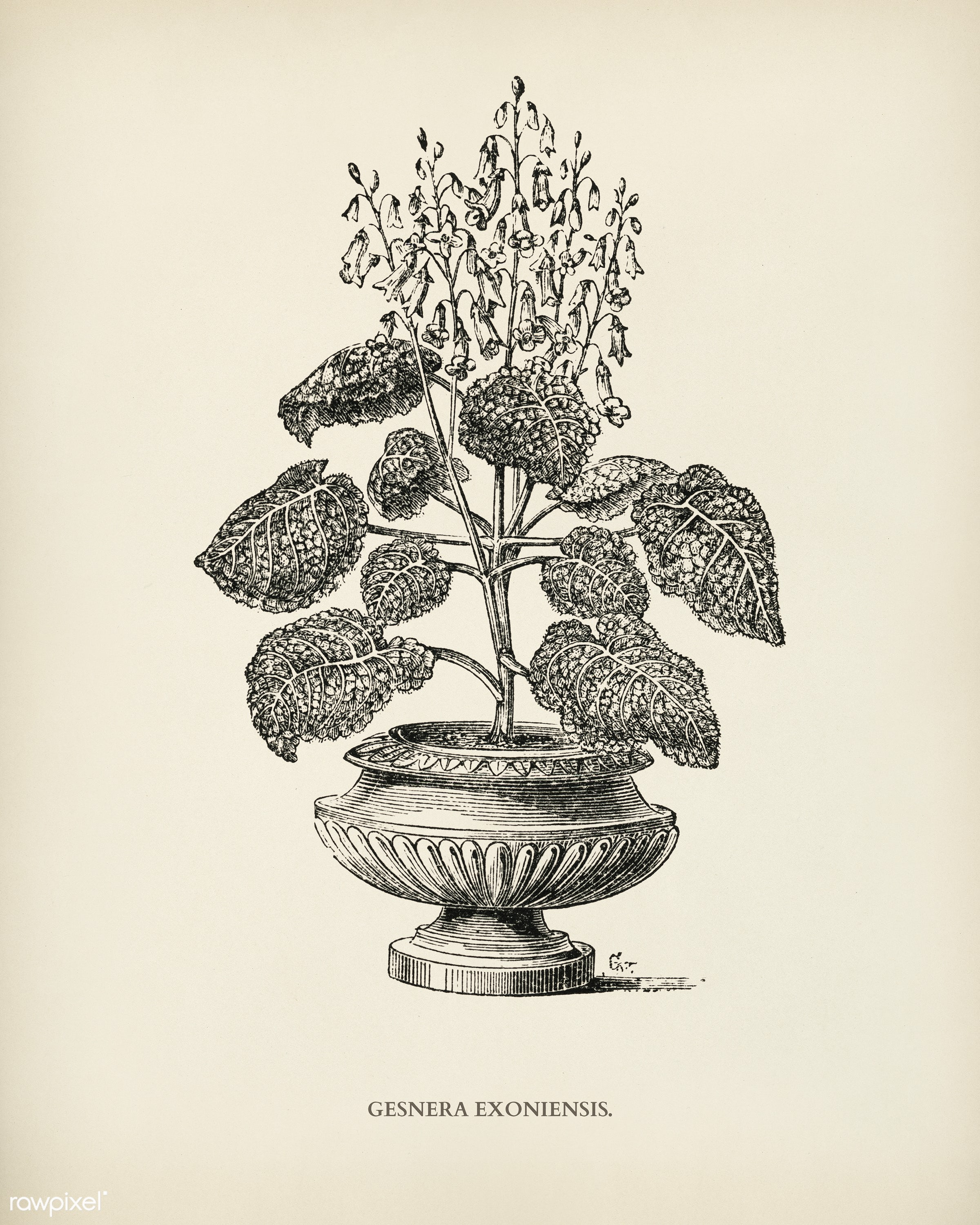 Genera exoniensis engraved by Benjamin Fawcett (1808-1893) for Shirley Hibberd's (1825-1890) New and Rare Beautiful-...