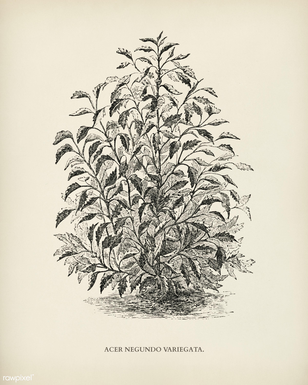 Box elder (Acer negundo variegata) engraved by Benjamin Fawcett (1808-1893) for Shirley Hibberd's (1825-1890) New and...