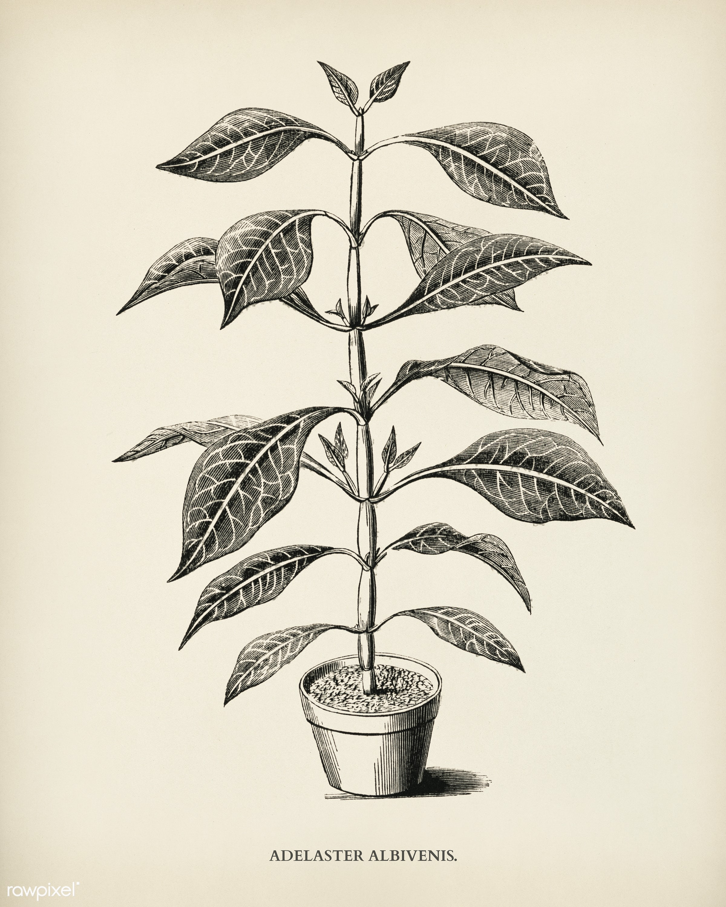 Adelaster Albivenis engraved by Benjamin Fawcett (1808-1893) for Shirley Hibberd's (1825-1890) New and Rare Beautiful-...