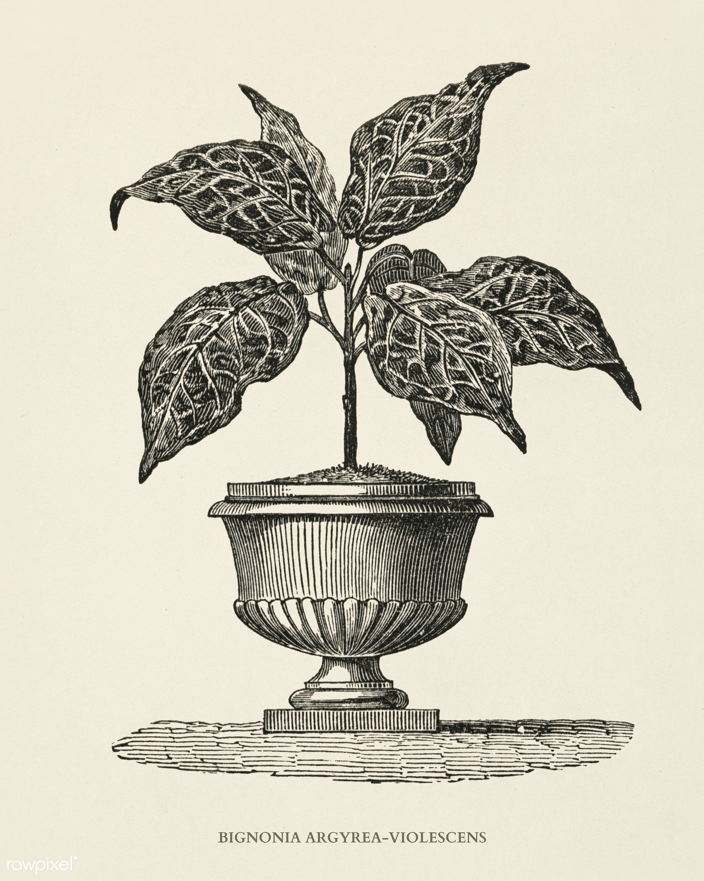 Bignonia Argyrea Violescens engraved by Benjamin Fawcett (1808-1893) for Shirley Hibberd's (1825-1890) New and Rare...