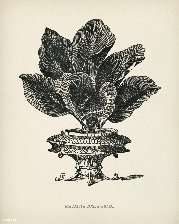 Maranta Rosea Picta engraved by Benjamin Fawcett (1808-1893) for Shirley Hibberd's (1825-1890) New and Rare Beautiful-...