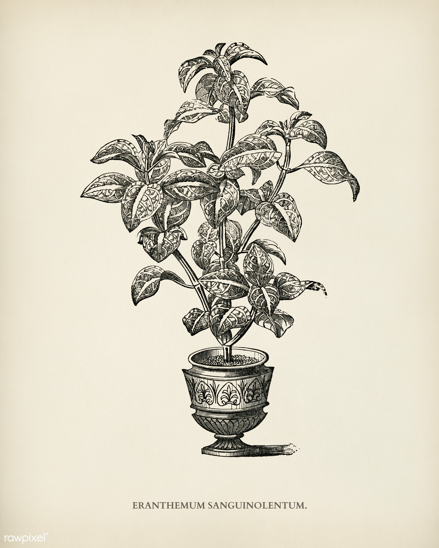 Eranthemum Sanguinolenthum engraved by Benjamin Fawcett (1808-1893) for Shirley Hibberd's (1825-1890) New and Rare...