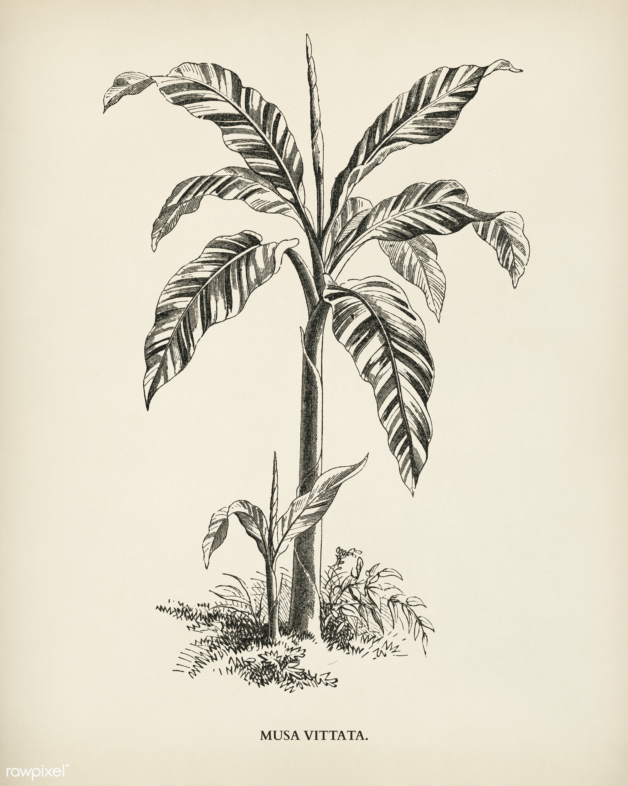 Musa Vittata engraved by Benjamin Fawcett (1808-1893) for Shirley Hibberd's (1825-1890) New and Rare Beautiful-Leaved...
