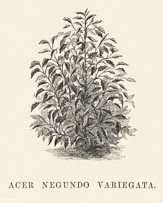 Acer Negundo Variegata engraved by Benjamin Fawcett (1808-1893) for Shirley Hibberd's (1825-1890) New and Rare...