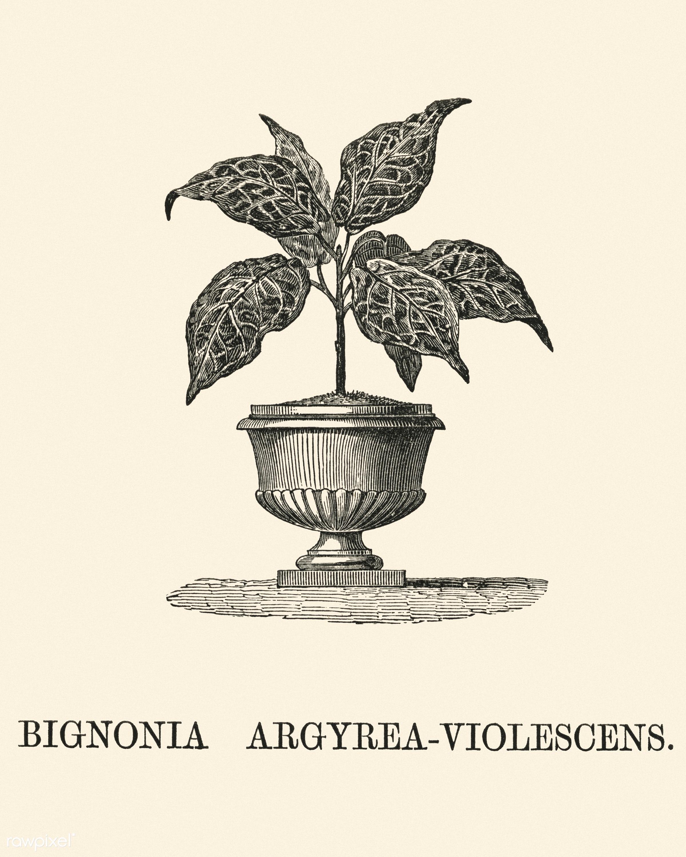 Bignonia Argyrea Violescens engraved by Benjamin Fawcett (1808-1893) for Shirley Hibberd's (1825-1890) New and Rare...