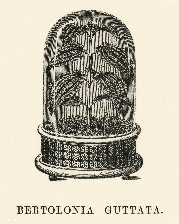 Bertolonia Guttata engraved by Benjamin Fawcett (1808-1893) for Shirley Hibberd's (1825-1890) New and Rare Beautiful-...