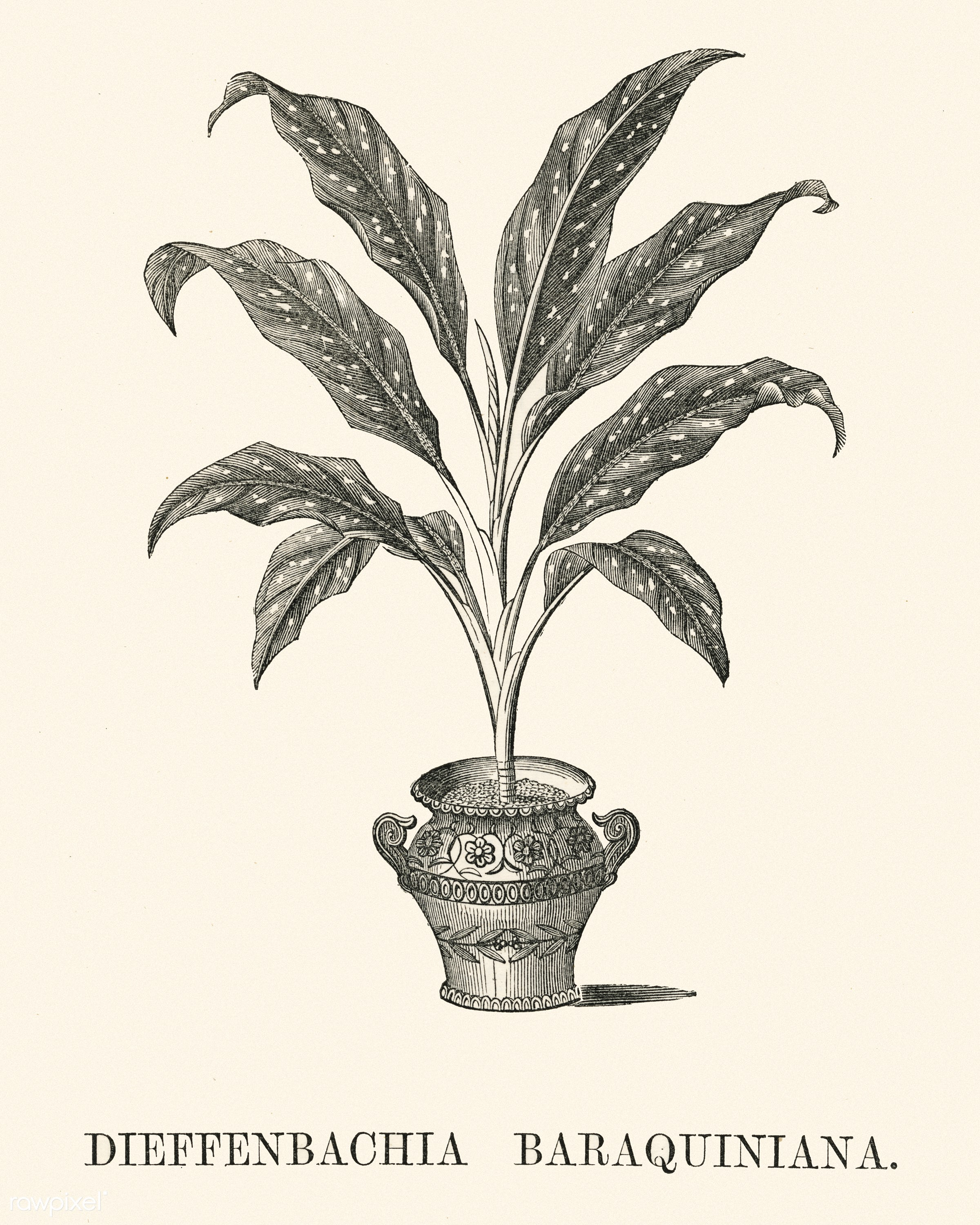 Dieffenbachia Baraquiniana engraved by Benjamin Fawcett (1808-1893) for Shirley Hibberd's (1825-1890) New and Rare...