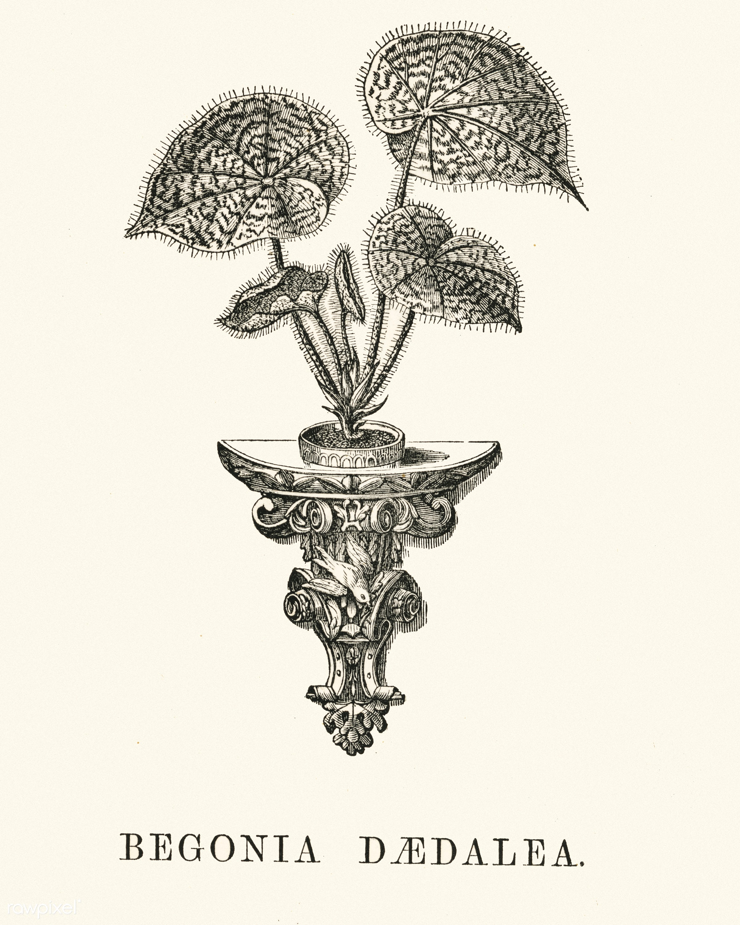 Begonia Daedalea engraved by Benjamin Fawcett (1808-1893) for Shirley Hibberd's (1825-1890) New and Rare Beautiful-...