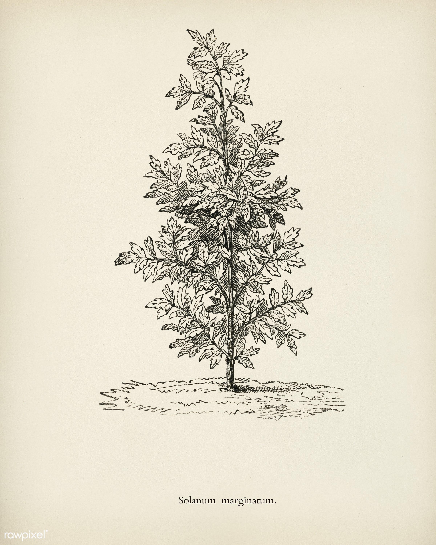Purple African Nightshade(Solanum Marginatum) engraved by Benjamin Fawcett (1808-1893) for Shirley Hibberd's (1825-...