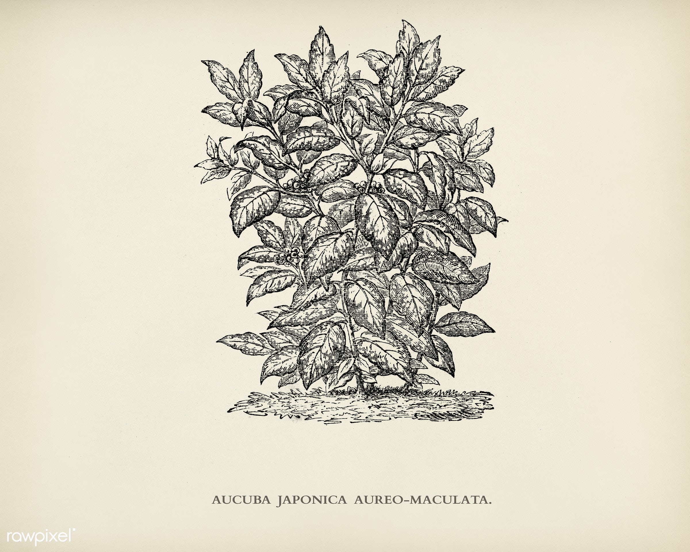 Aucuba Japonica Aureo Maculata engraved by Benjamin Fawcett (1808-1893) for Shirley Hibberd's (1825-1890) New and Rare...