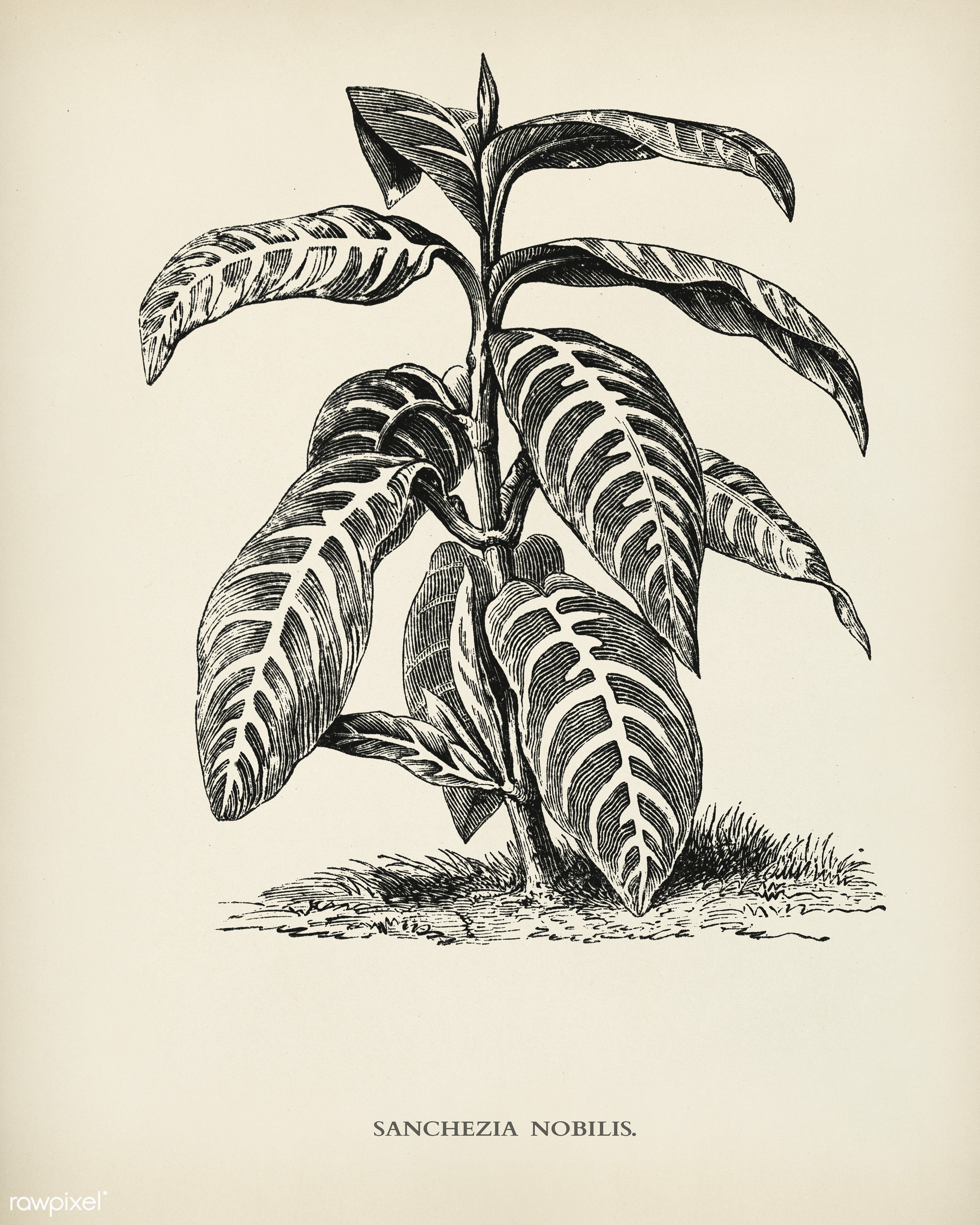 Sanchezia Nobilis engraved by Benjamin Fawcett (1808-1893) for Shirley Hibberd's (1825-1890) New and Rare Beautiful-...