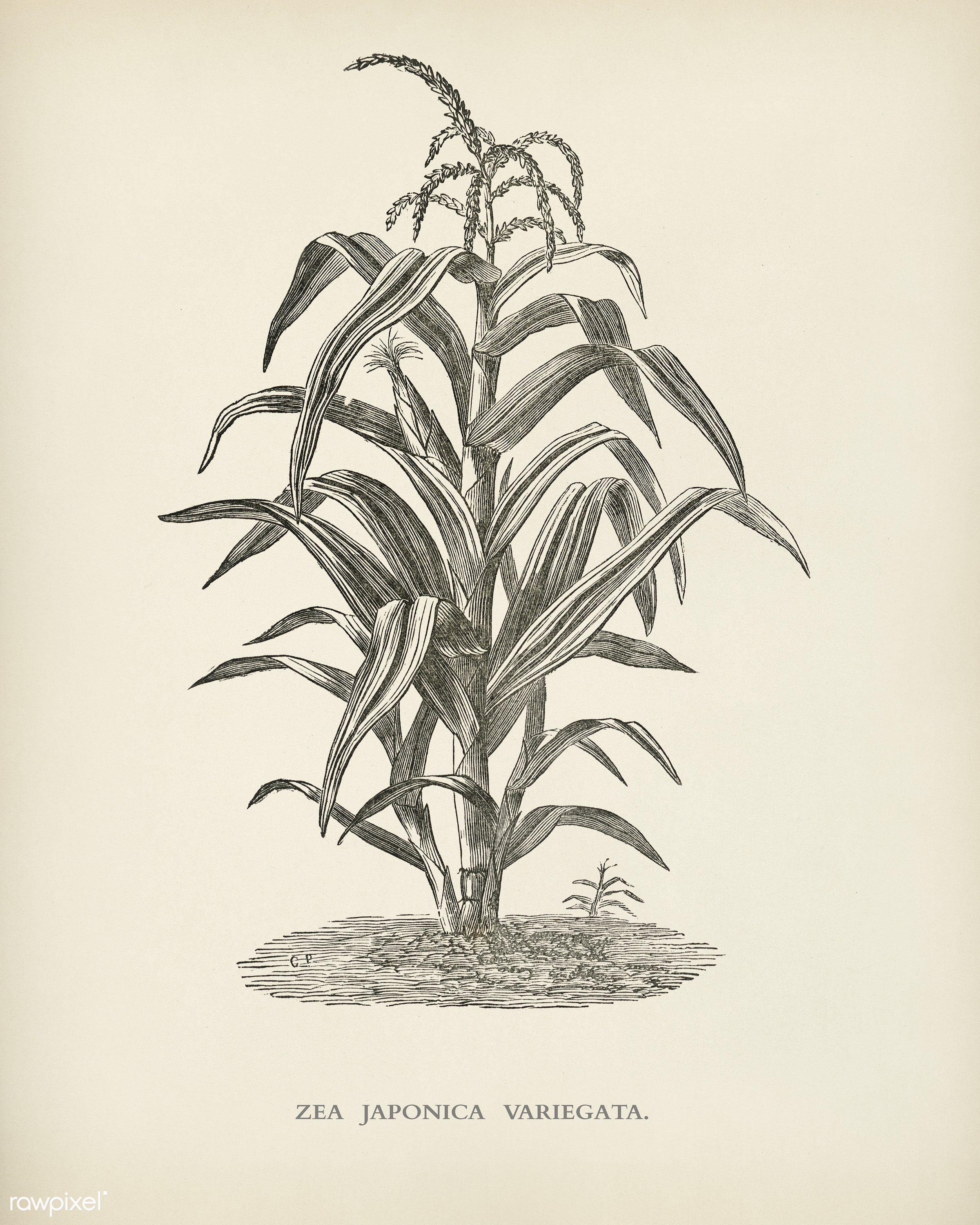 Variegated Japanese Corn ( Zea japonica variegata) engraved by Benjamin Fawcett (1808-1893) for Shirley Hibberd's (...
