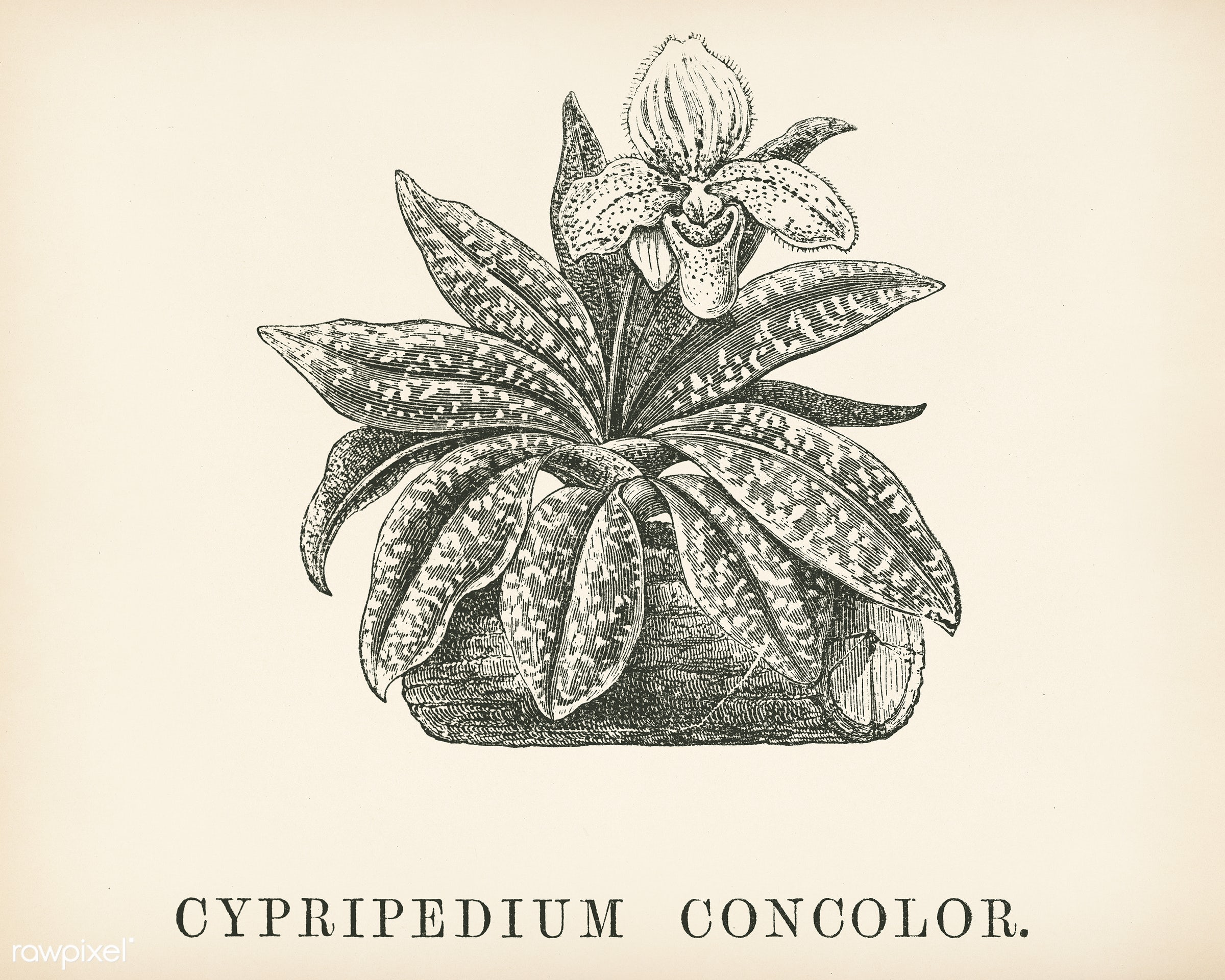 Cypripedium Concolor engraved by Benjamin Fawcett (1808-1893) for Shirley Hibberd's (1825-1890) New and Rare Beautiful...