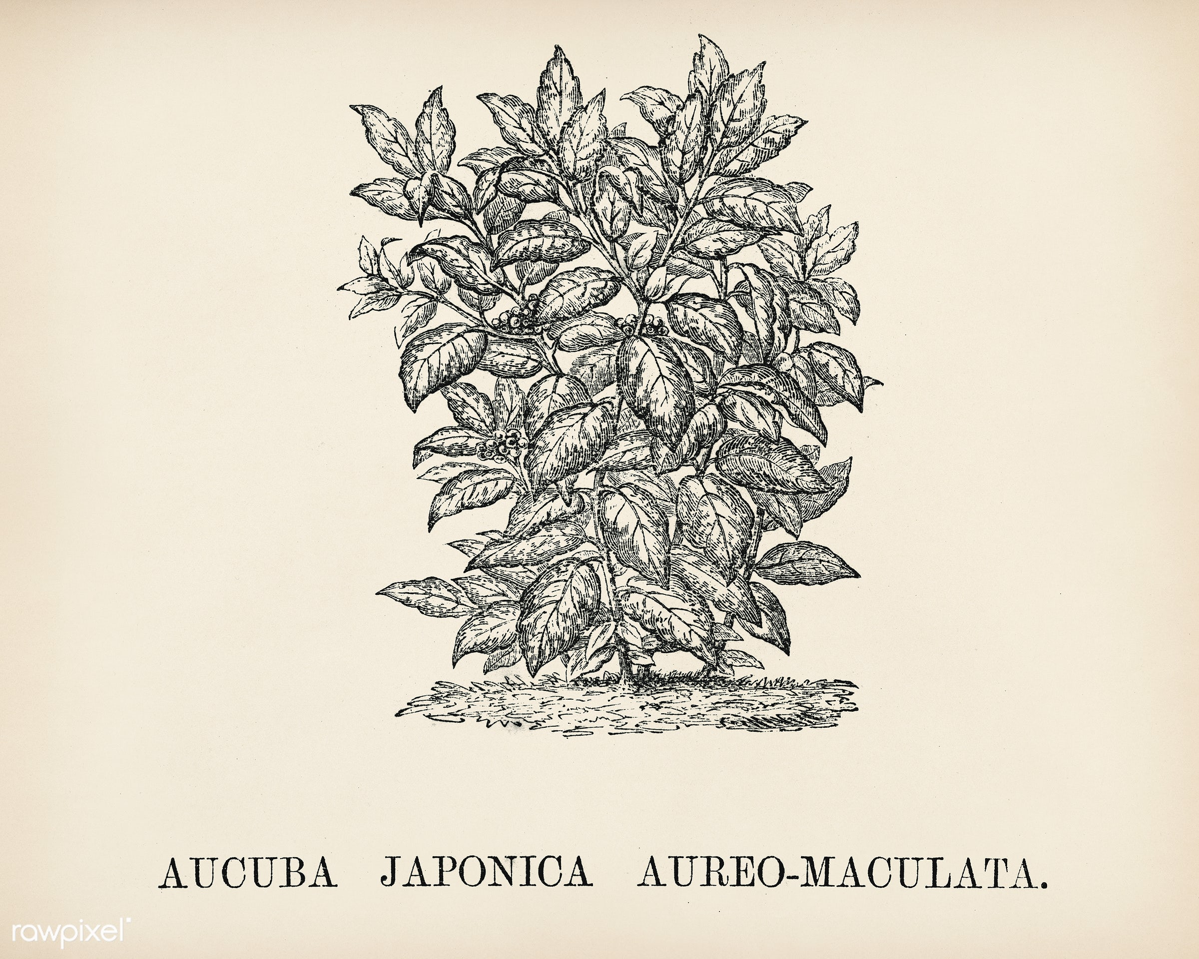 Aucuba Japonica engraved by Benjamin Fawcett (1808-1893) for Shirley Hibberd's (1825-1890) New and Rare Beautiful-...