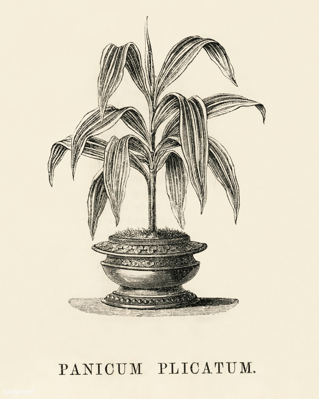 Panicum Plicatum engraved by Benjamin Fawcett (1808-1893) for Shirley Hibberd's (1825-1890) New and Rare Beautiful-...