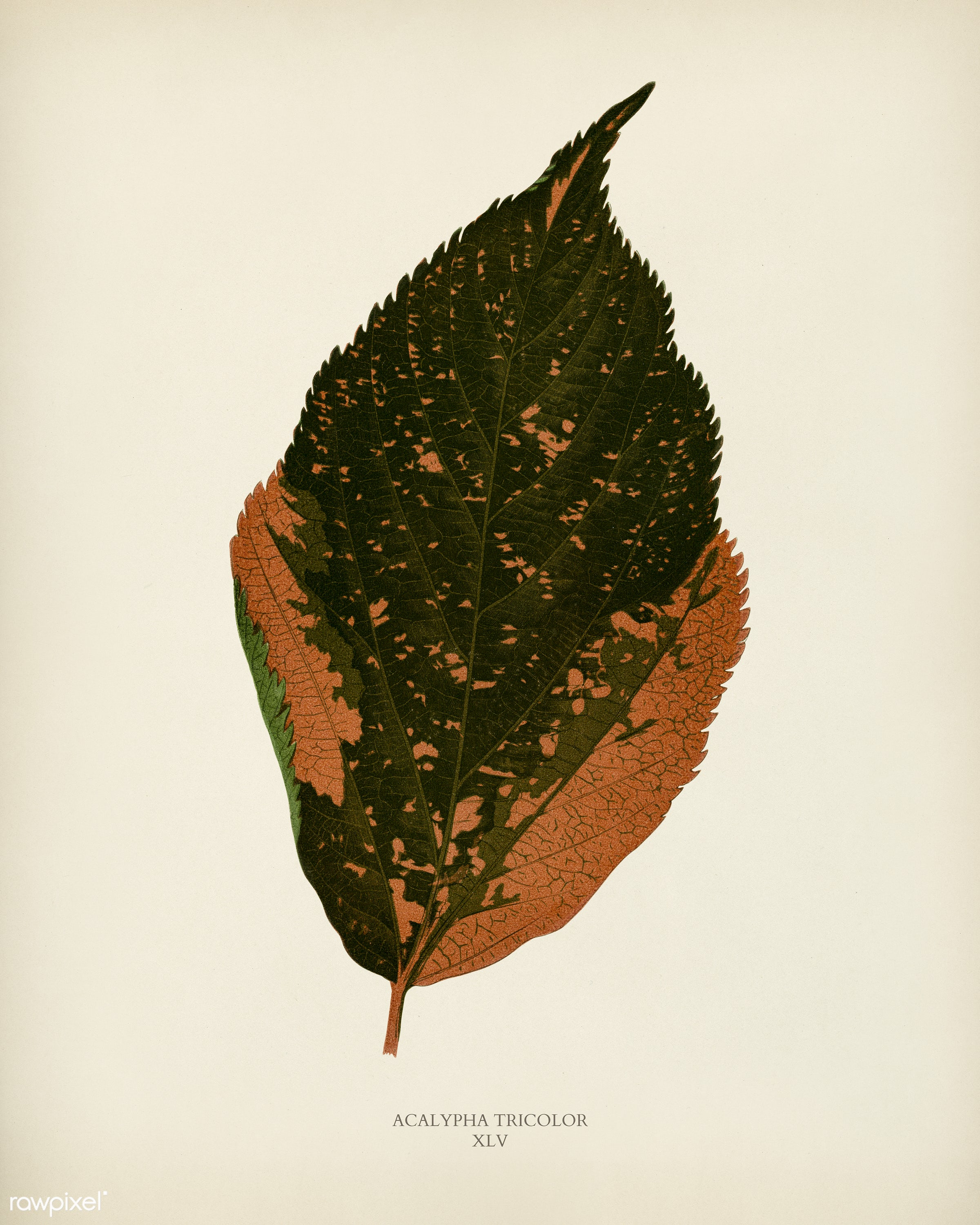 Jacobs Coat (Acalypha Tricolor) engraved by Benjamin Fawcett (1808-1893) for Shirley Hibberd's (1825-1890) New and...