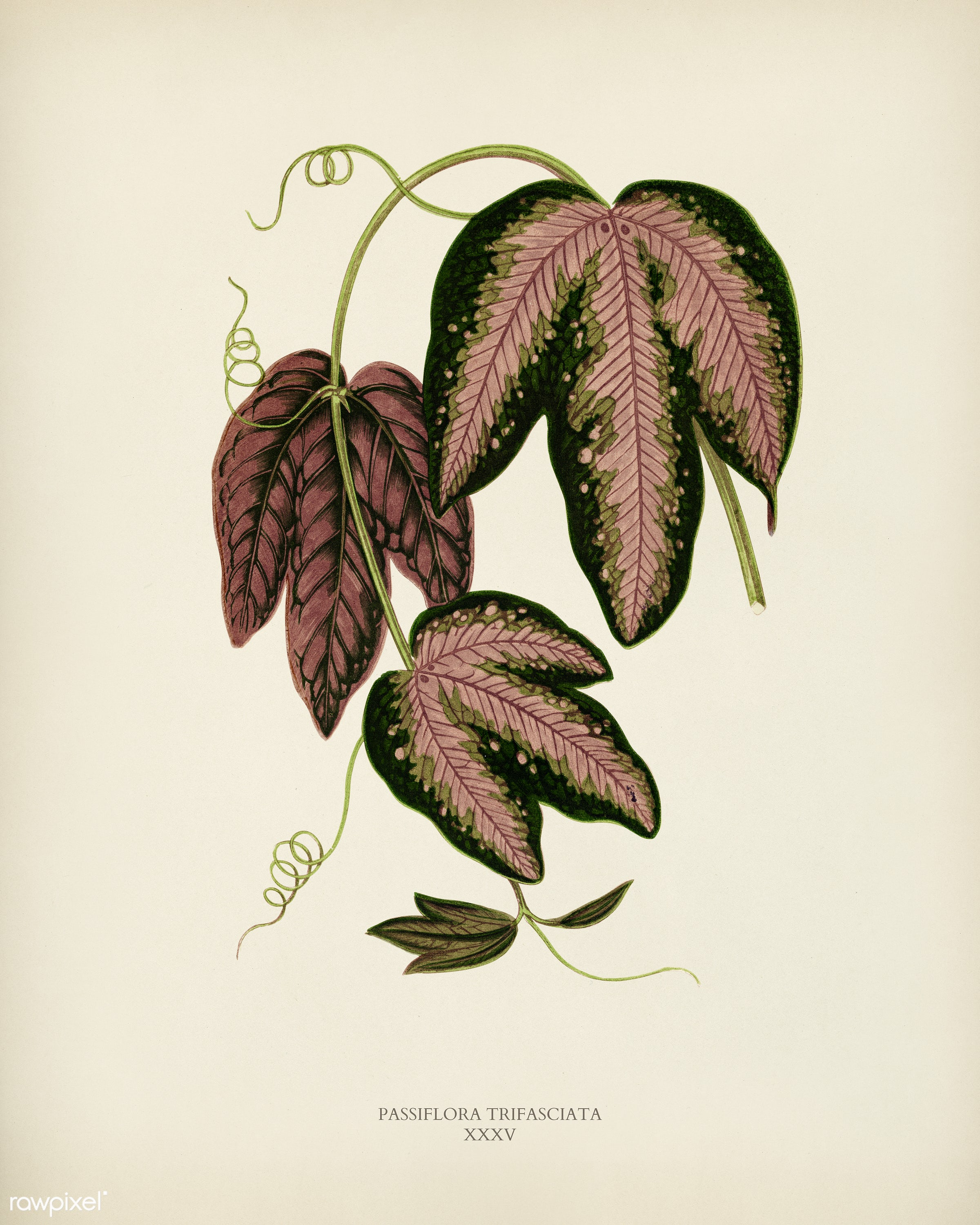 Tri-colored Passion Vine (Passiflora Trifasciata) engraved by Benjamin Fawcett (1808-1893) for Shirley Hibberd's (1825...