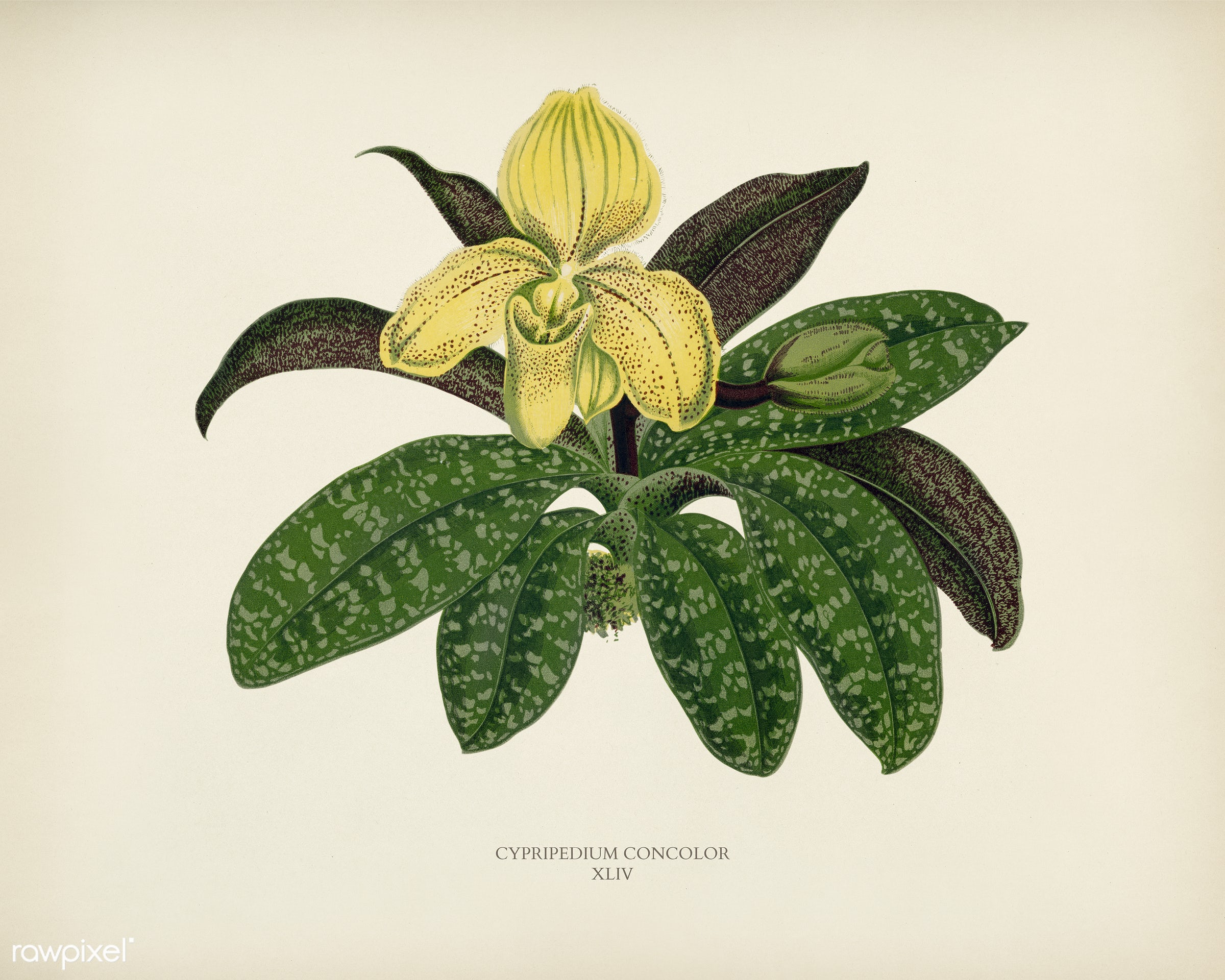 The One Colored Paphiopedilum (Paphiopedilum Concolor) engraved by Benjamin Fawcett (1808-1893) for Shirley Hibberd's...