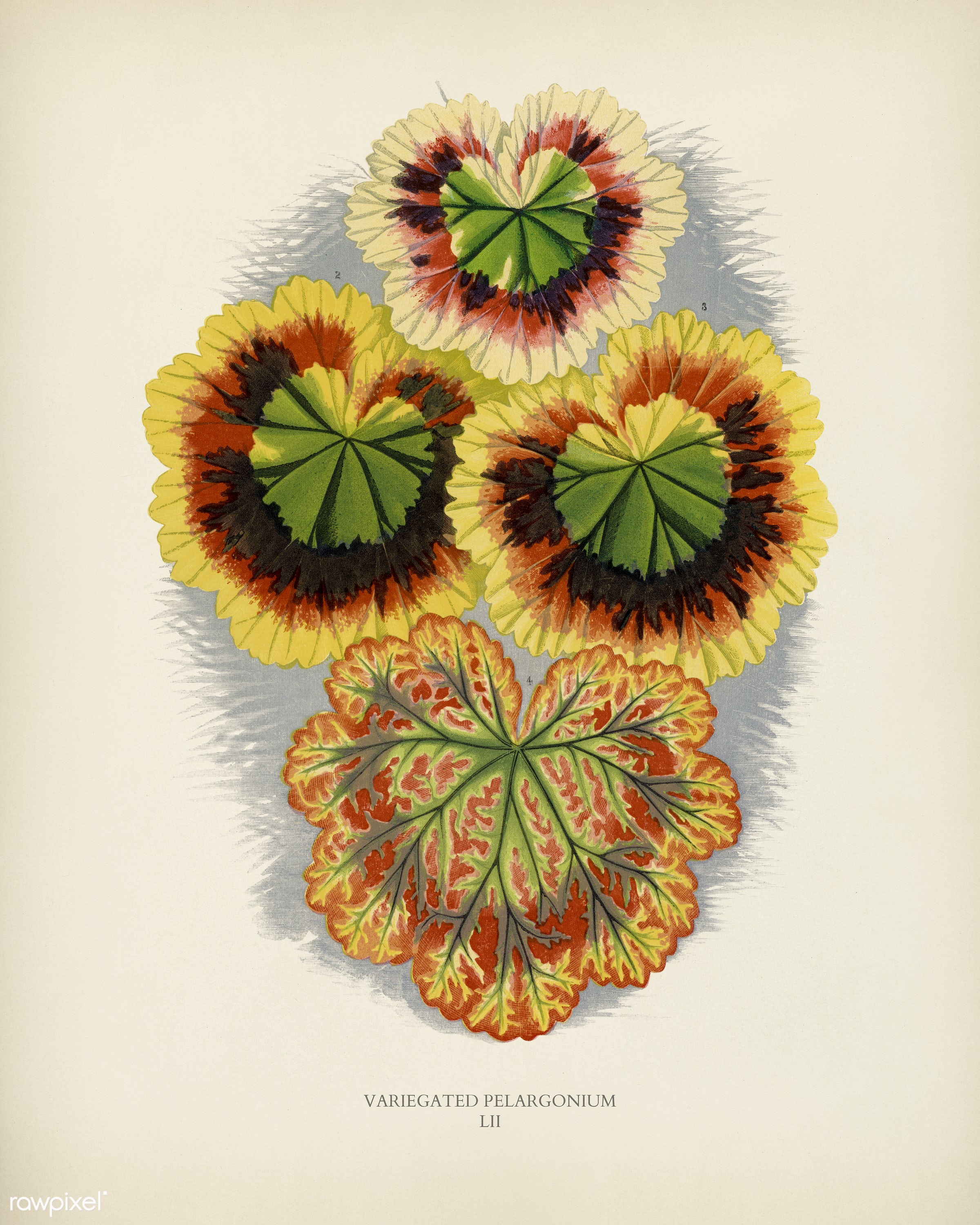 Variegated Geraniums (variegated pelargonium) engraved by Benjamin Fawcett (1808-1893) for Shirley Hibberd's (1825-...