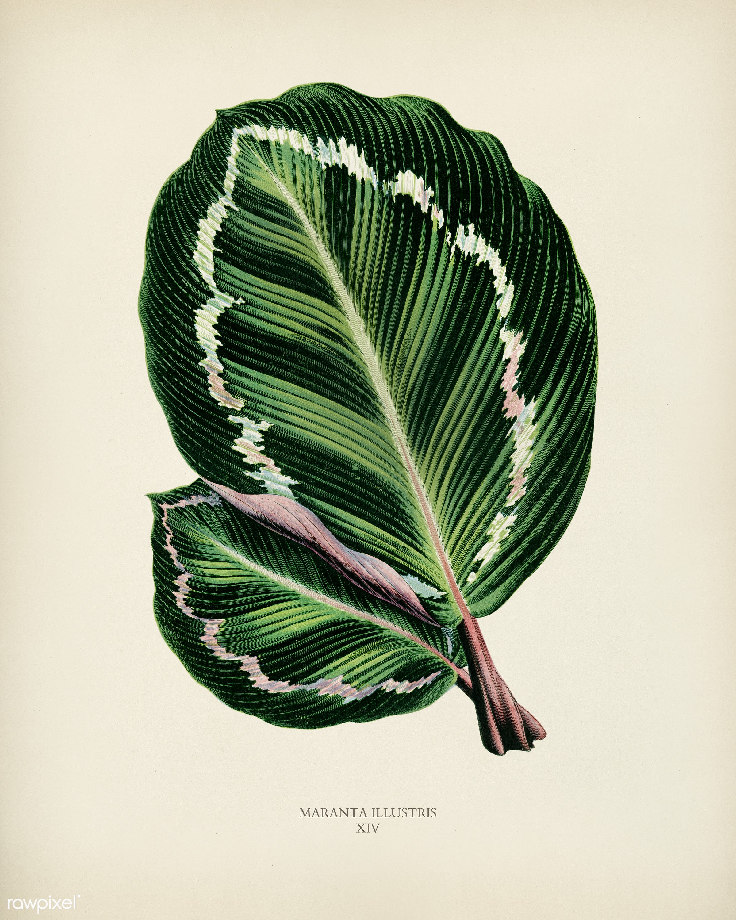 Rose Painted Calathea (Maranta illustris) engraved by Benjamin Fawcett (1808-1893) for Shirley Hibberd's (1825-1890)...