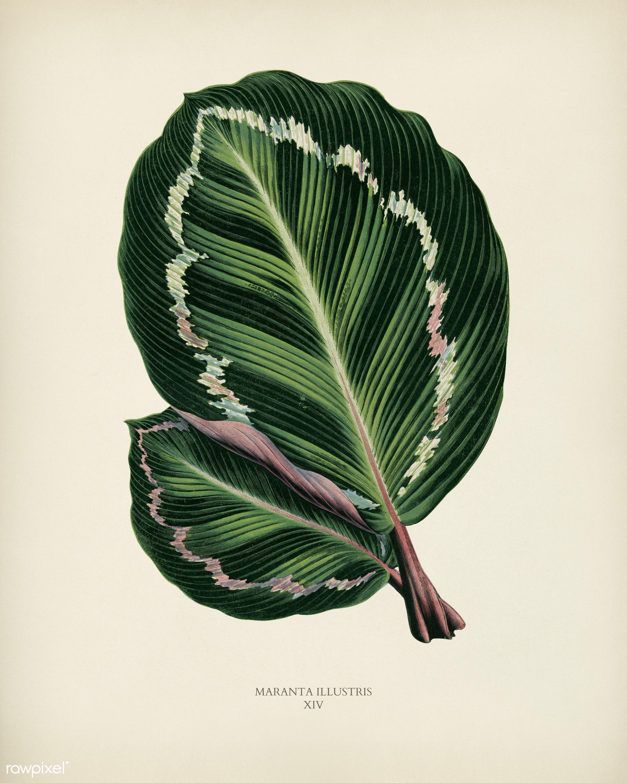 Rose Painted Calathea (Maranta illustris) engraved by Benjamin Fawcett (1808-1893) for Shirley Hibberd's (1825-1890)...