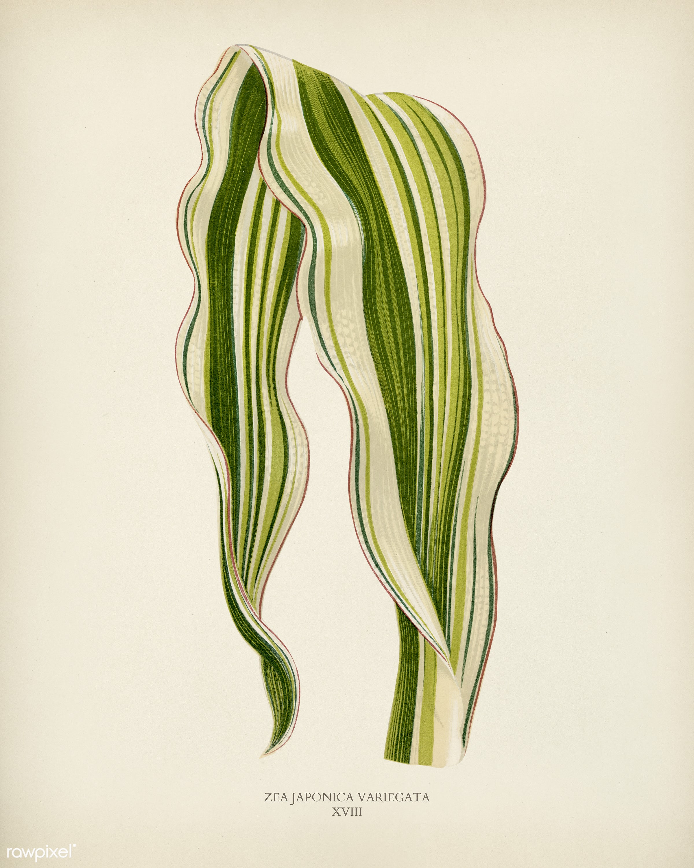 Striped Maize (Zea Japonica Variegata ) engraved by Benjamin Fawcett (1808-1893) for Shirley Hibberd's (1825-1890) New...