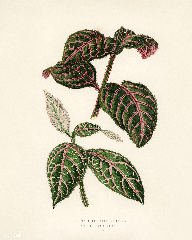 Eranthemum Sanguinolentum engraved by Benjamin Fawcett (1808-1893) for Shirley Hibberd's (1825-1890) New and Rare...