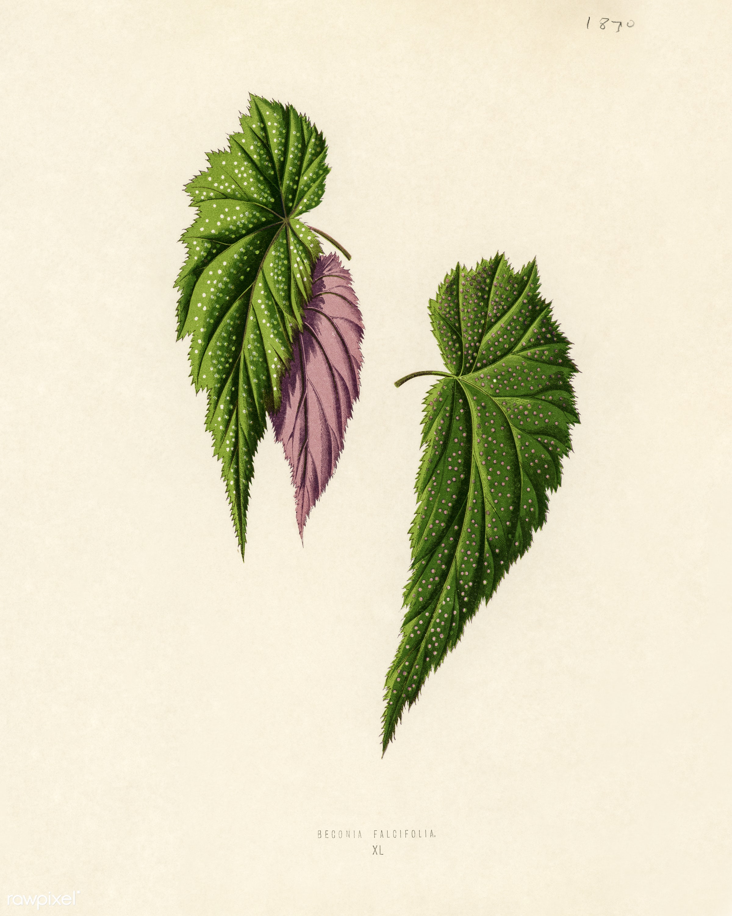 Begonia Falcifolia engraved by Benjamin Fawcett (1808-1893) for Shirley Hibberd's (1825-1890) New and Rare Beautiful-...