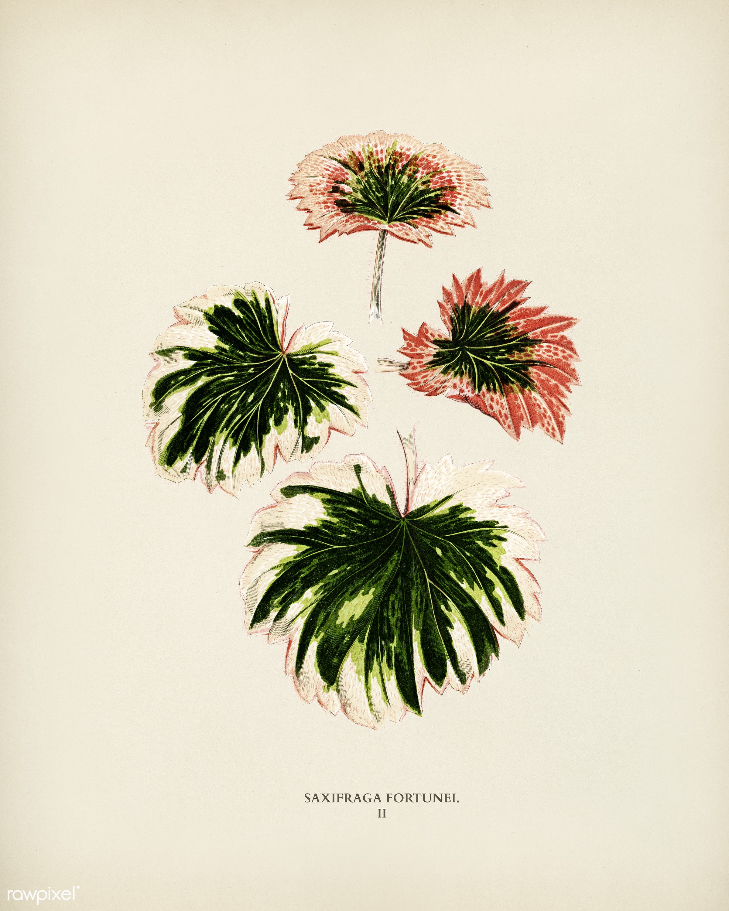 Saxifrage (Saxifraga Fortunei) engraved by Benjamin Fawcett (1808-1893) for Shirley Hibberd's (1825-1890) New and Rare...