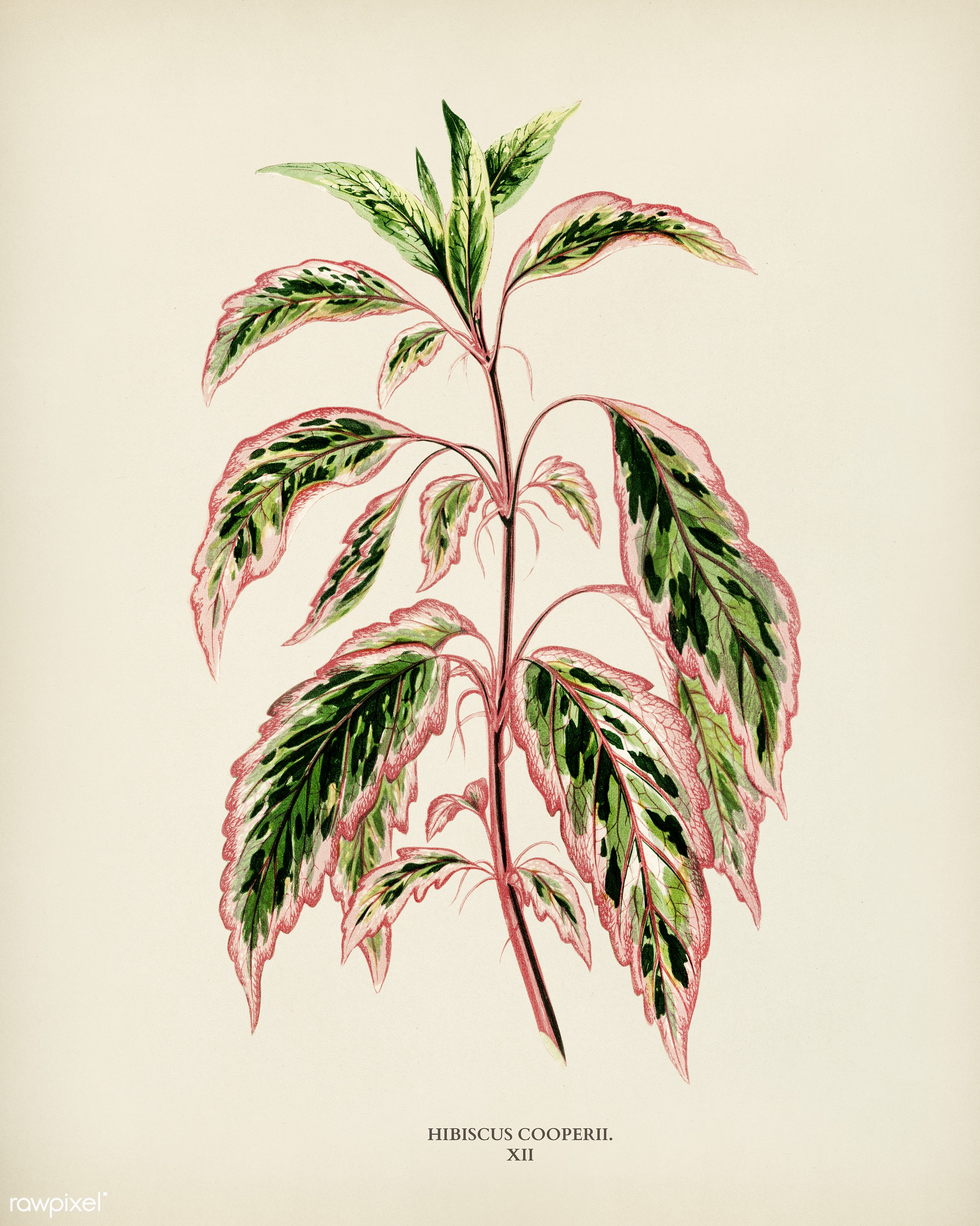 Rose mallow (lhibiscus cooperi) engraved by Benjamin Fawcett (1808-1893) for Shirley Hibberd's (1825-1890) New and...