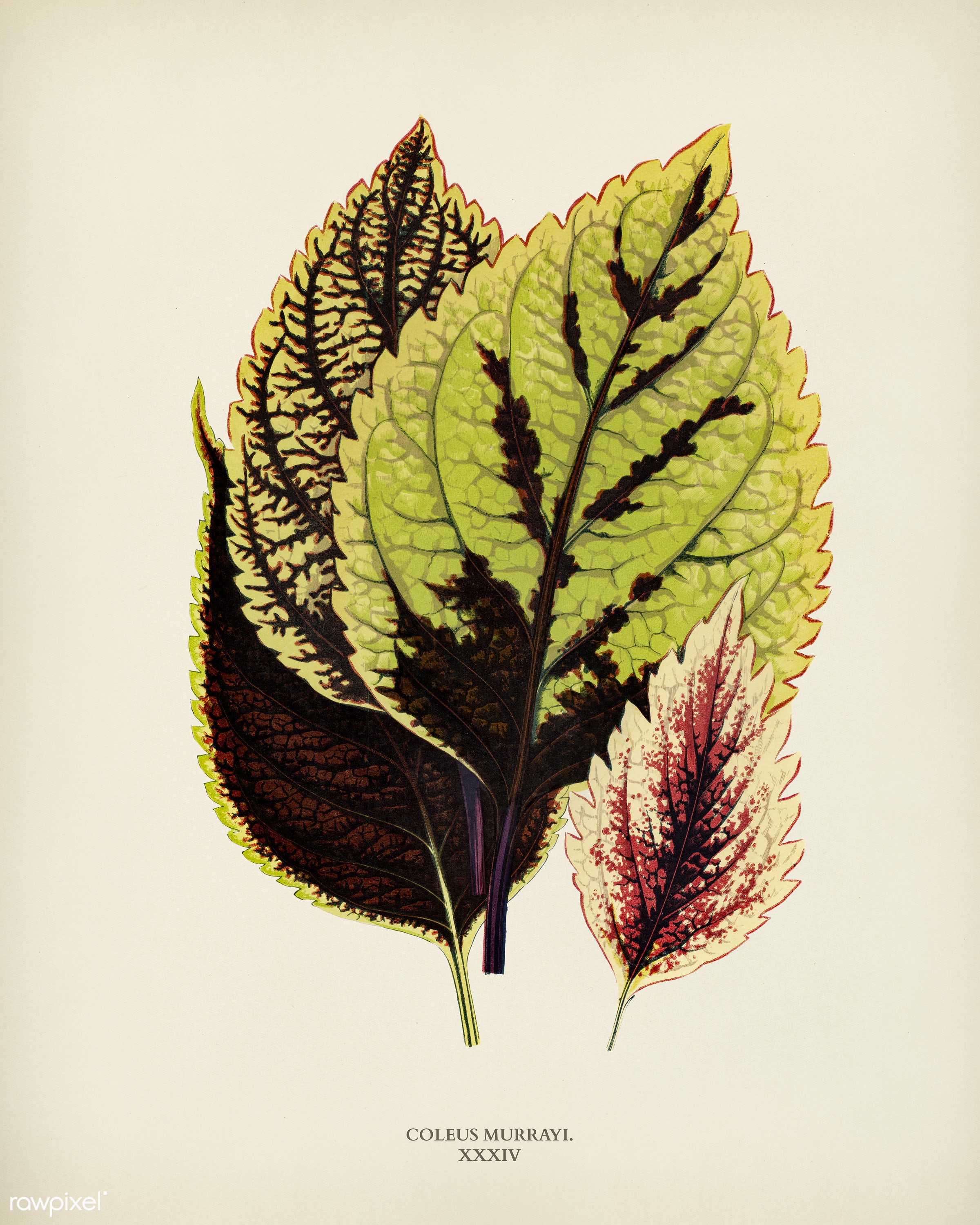 Coleus Murrayi engraved by Benjamin Fawcett (1808-1893) for Shirley Hibberd's (1825-1890) New and Rare Beautiful-...