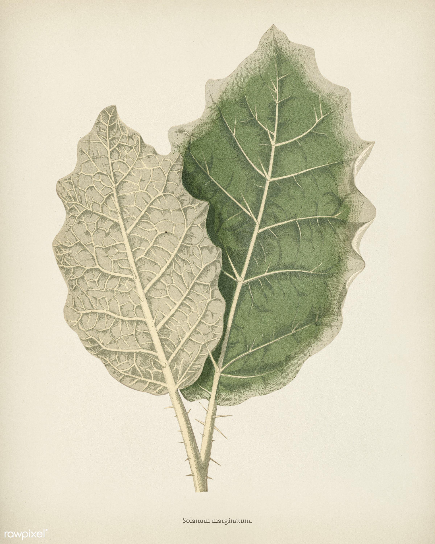 White-margined Nightshade (Solanum Marginatum) engraved by Benjamin Fawcett (1808-1893) for Shirley Hibberd's (1825-...