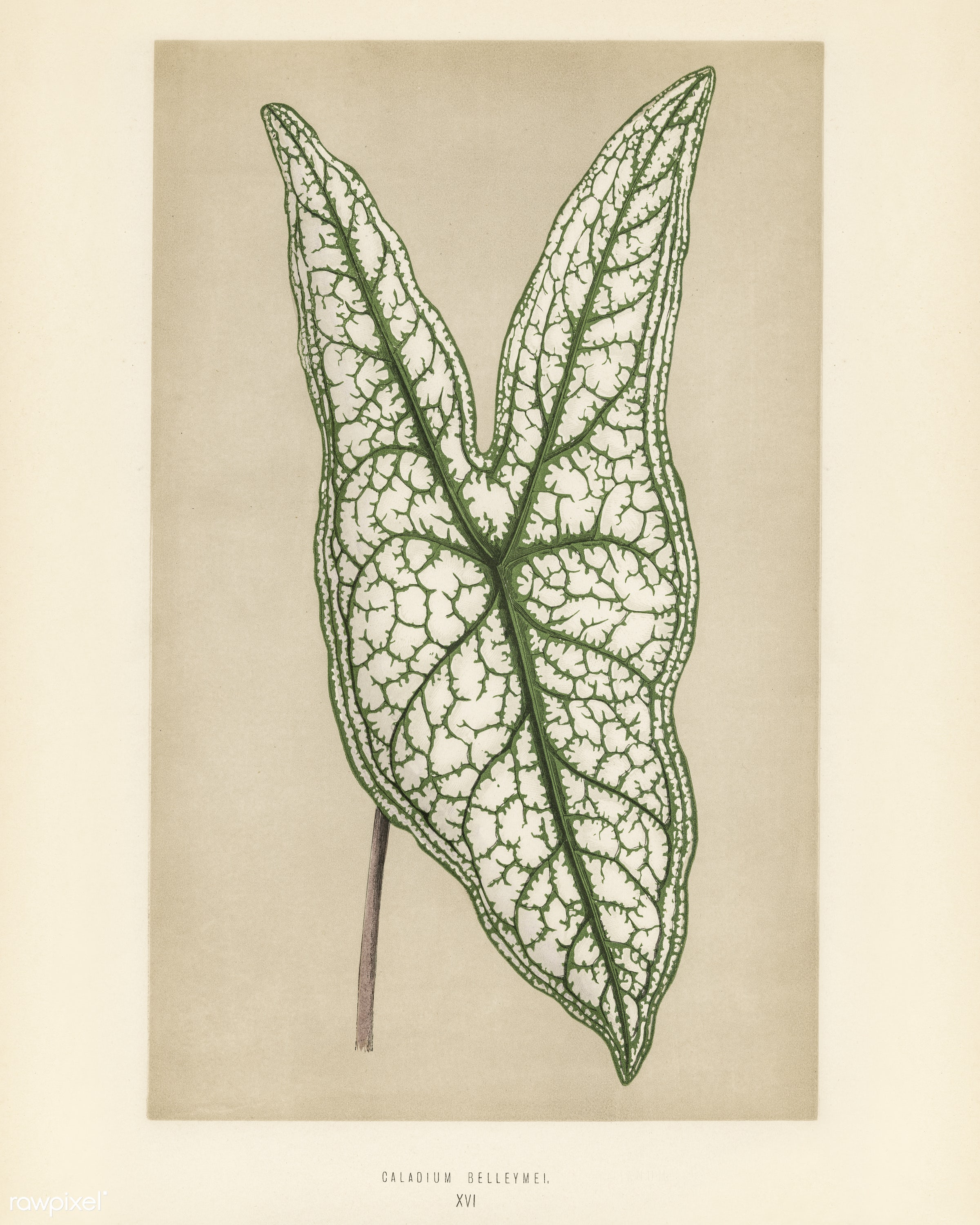 Heart of Jesus (Caladium Belleymel) engraved by Benjamin Fawcett (1808-1893) for Shirley Hibberd's (1825-1890) New and...