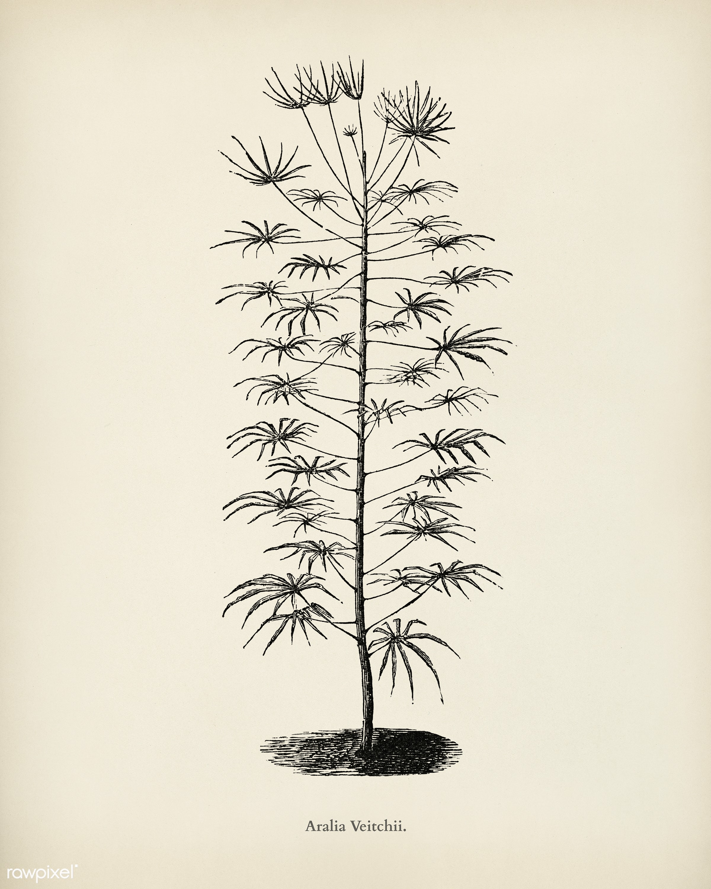 Aralia Veitchii engraved by Benjamin Fawcett (1808-1893) for Shirley Hibberd's (1825-1890) New and Rare Beautiful-...
