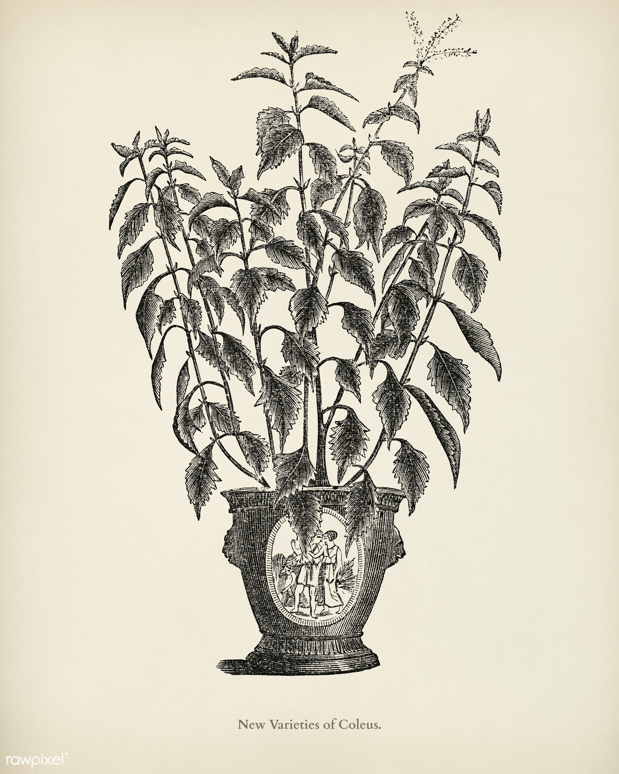 Coleus engraved by Benjamin Fawcett (1808-1893) for Shirley Hibberd's (1825-1890) New and Rare Beautiful-Leaved Plants...