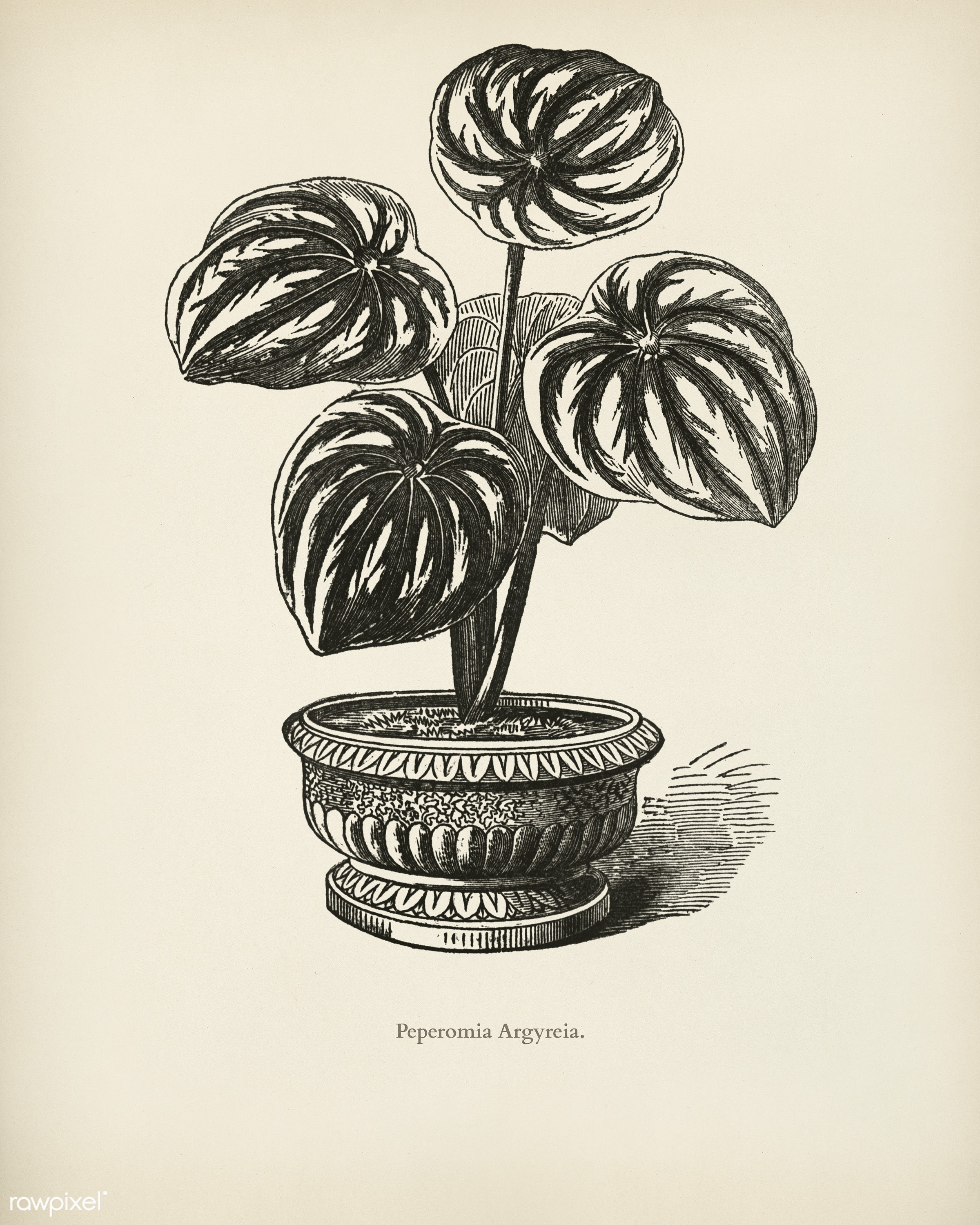 Watermelon Begonia (Peperomia Argyreia) engraved by Benjamin Fawcett (1808-1893) for Shirley Hibberd's (1825-1890) New...