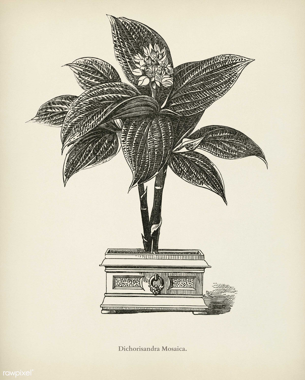 Dichorisandra Mosaica engraved by Benjamin Fawcett (1808-1893) for Shirley Hibberd's (1825-1890) New and Rare...