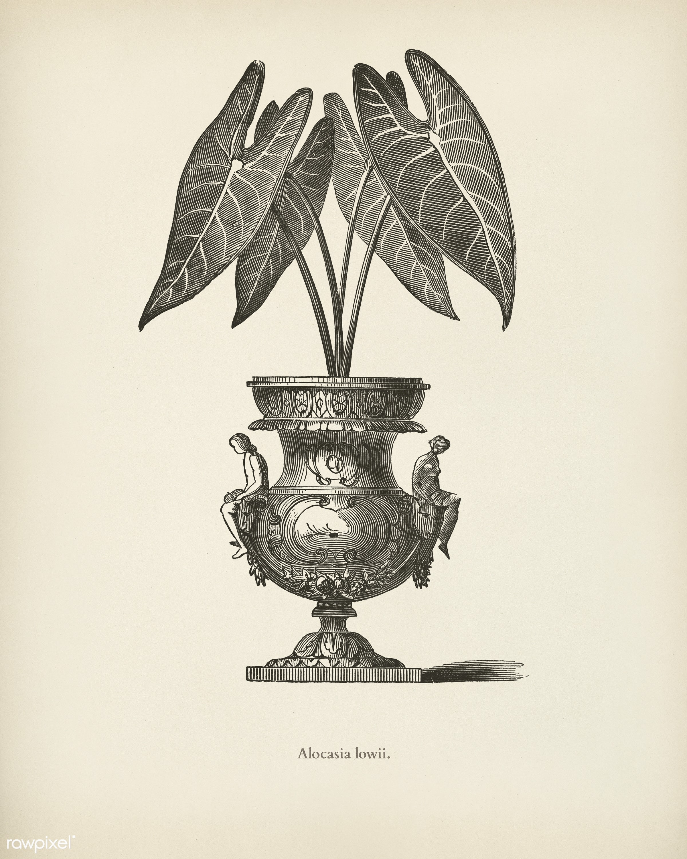 Elephant's Ear (Alocasia Lowii) engraved by Benjamin Fawcett (1808-1893) for Shirley Hibberd's (1825-1890) New and...