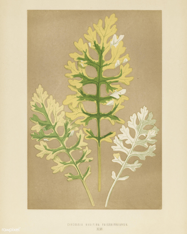 Cineraria Maritima Fairbairnanum engraved by Benjamin Fawcett (1808-1893) for Shirley Hibberd's (1825-1890) New and...